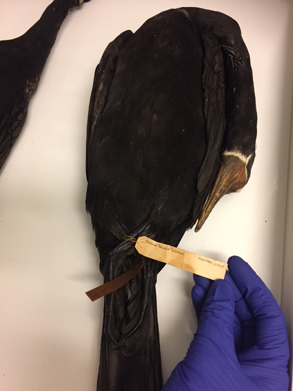 "A well-preserved Mexican cormorant. Note the tag states ""Nelson & Goldman."""