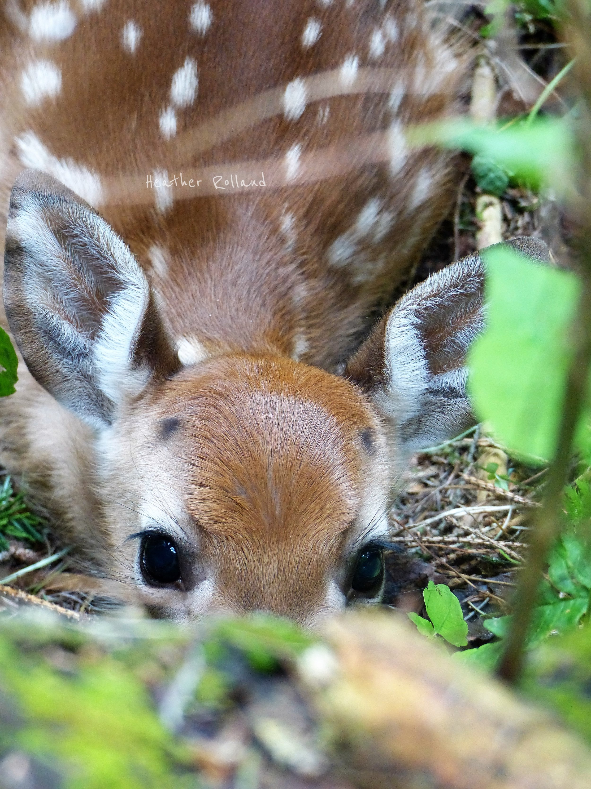 White-tailed deer fawn. Photographed in Delaware Wild Forest, Delaware County, NY.