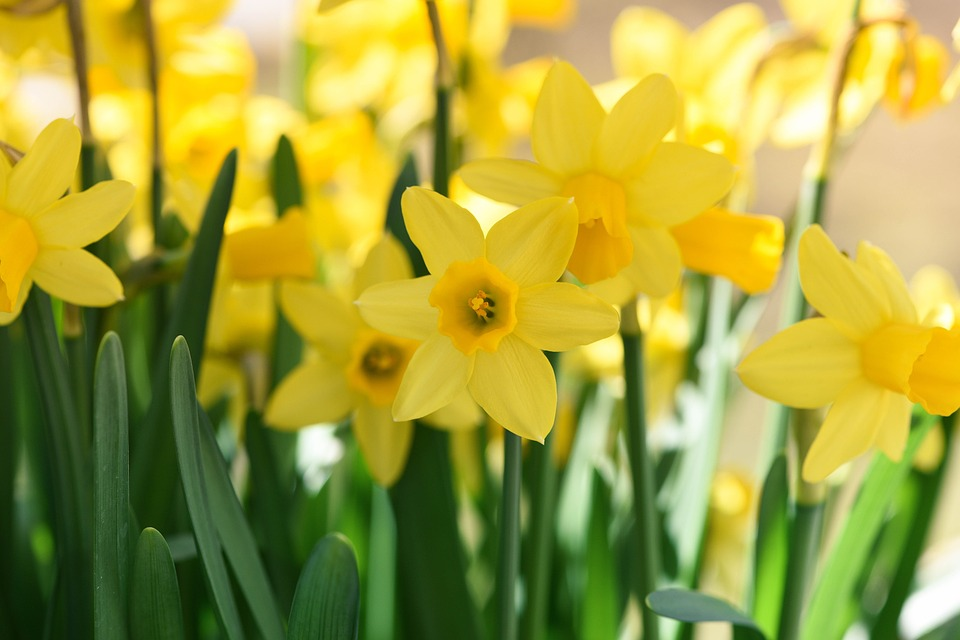 Daffodils are one of spring's greatest gifts. With a field of these at your feet, you can't help but smile.
