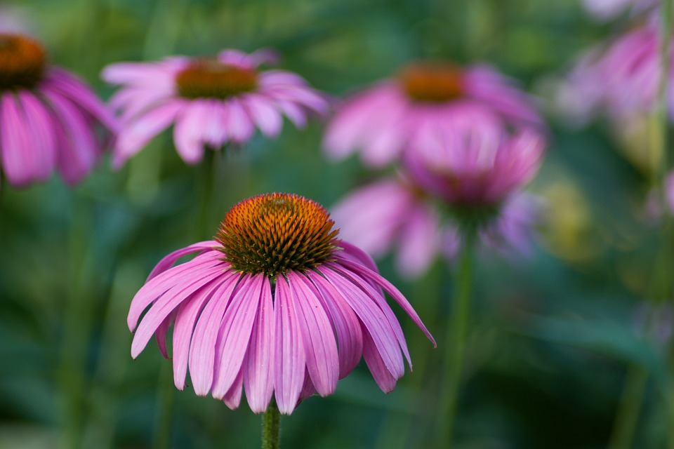 Echinaceas, or purple coneflowers as they're commonly known, add beautiful color to a landscape during summer.
