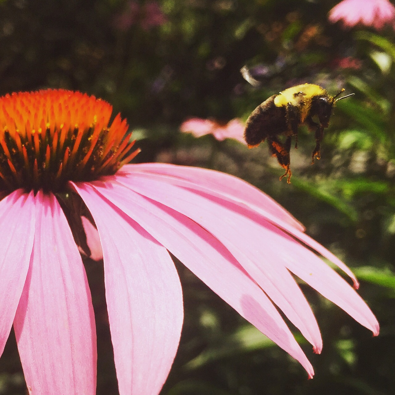 A Bumblebee's Brunch.  The Coneflower produces pollen favored by bees and produces seeds that are favored by the American Goldfinch.  Photo by J.Lipartito