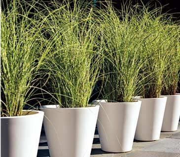Lemongrass can be ornamental & useful