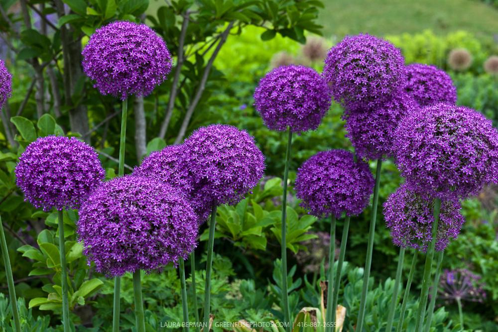 Purple Ambassador