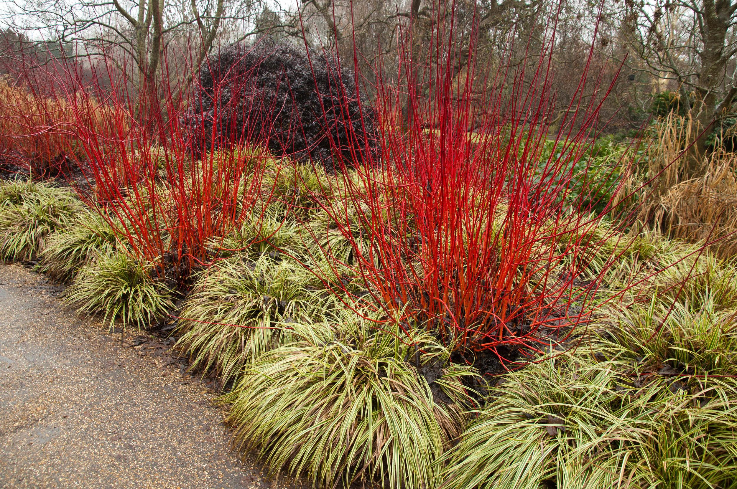Red Twig Dogwood ('cornus baileyi')