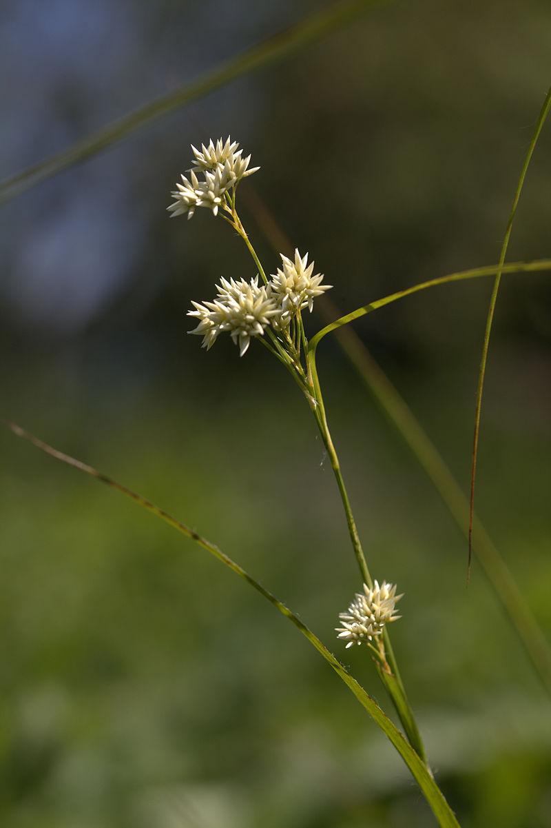 Luzula nivea (Snow-White Wood-Rush )