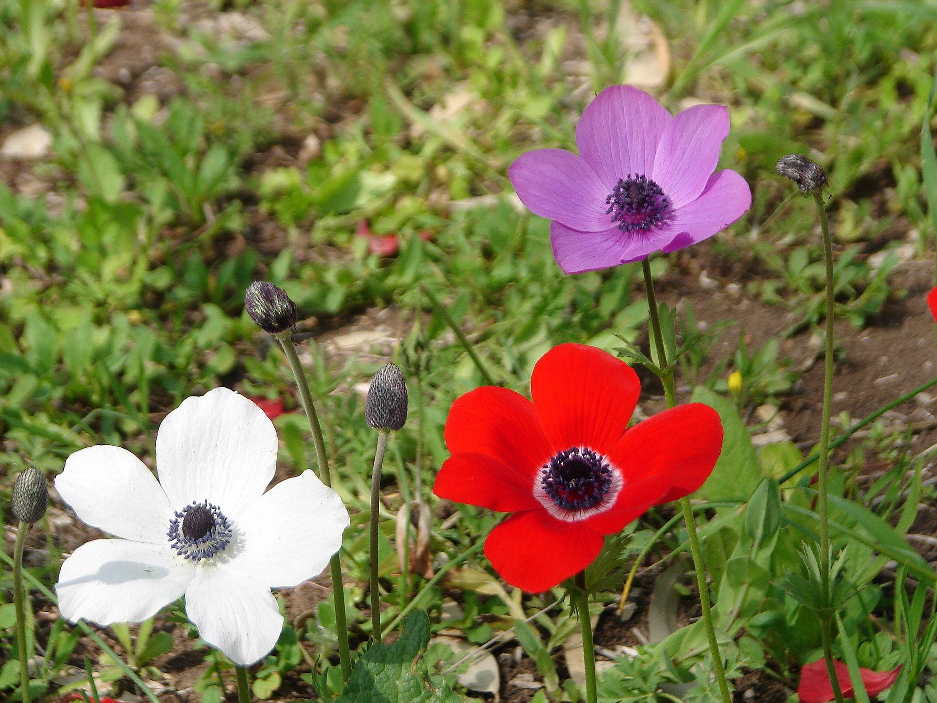 Anemone coronaria (Poppy Anemone)