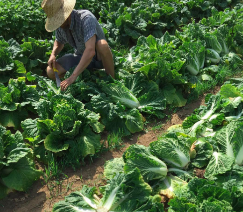 2016 napa harvest.png