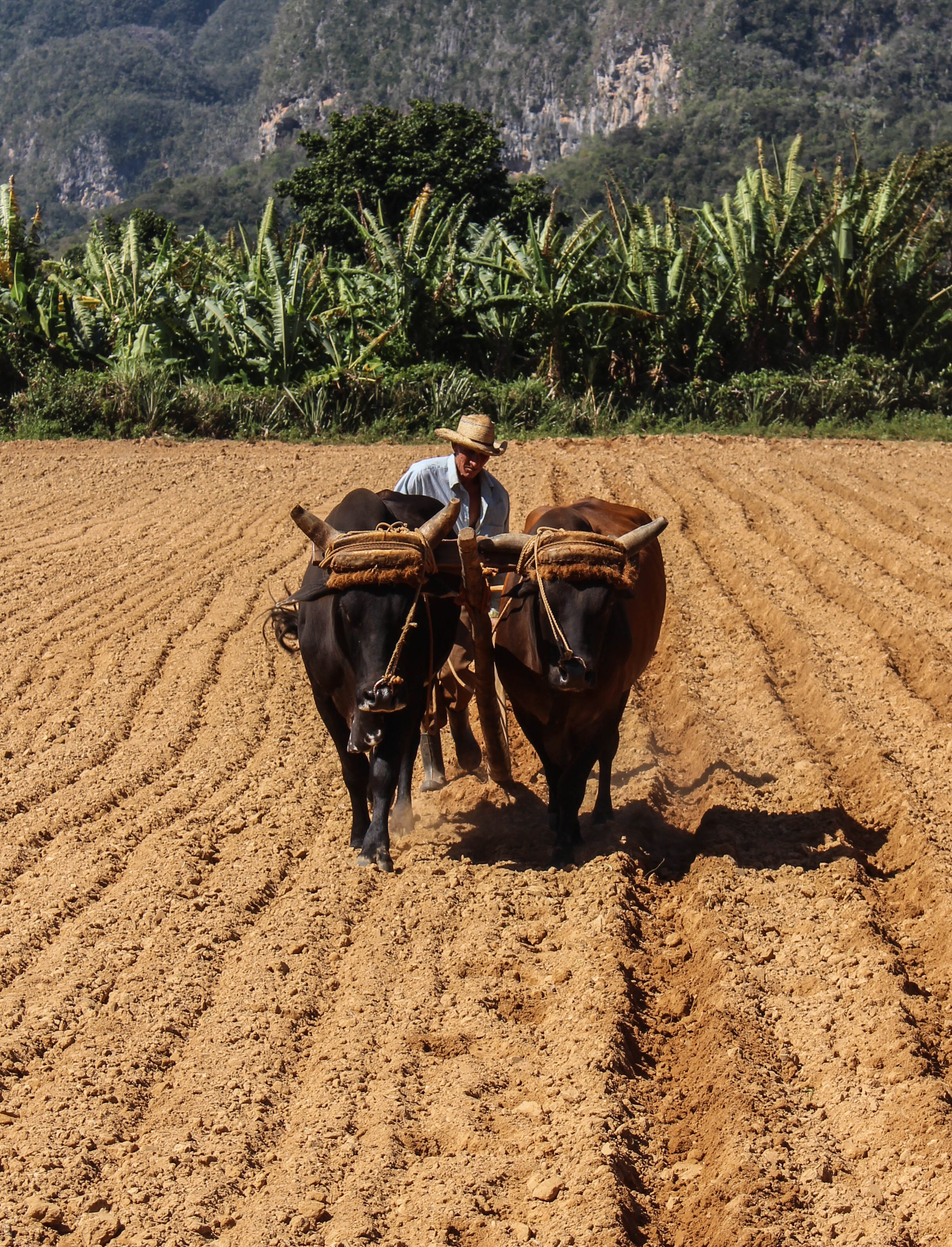 Rudimentary Cuban farming techniques