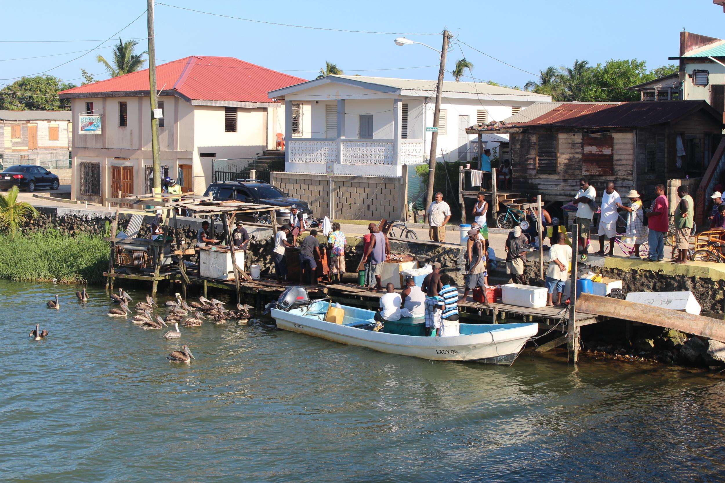 Birds await the fisherman's haul in Dangriga