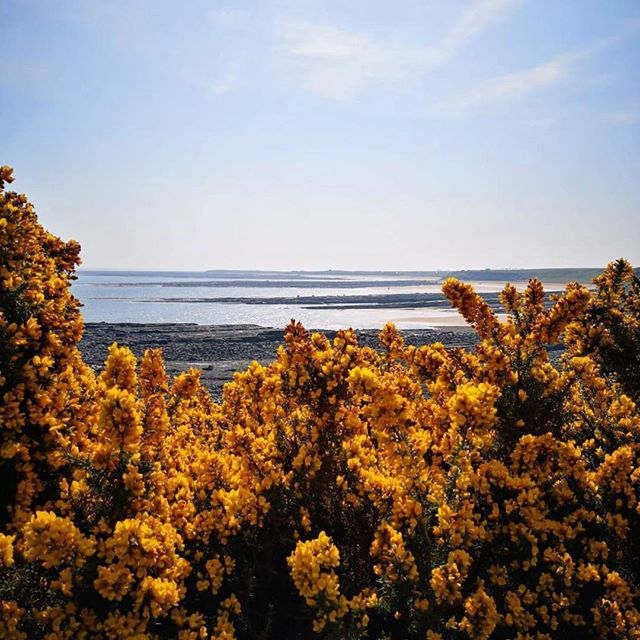 The Northumberland coastline, complete with Easter gorse #dustanburgh #northumberland