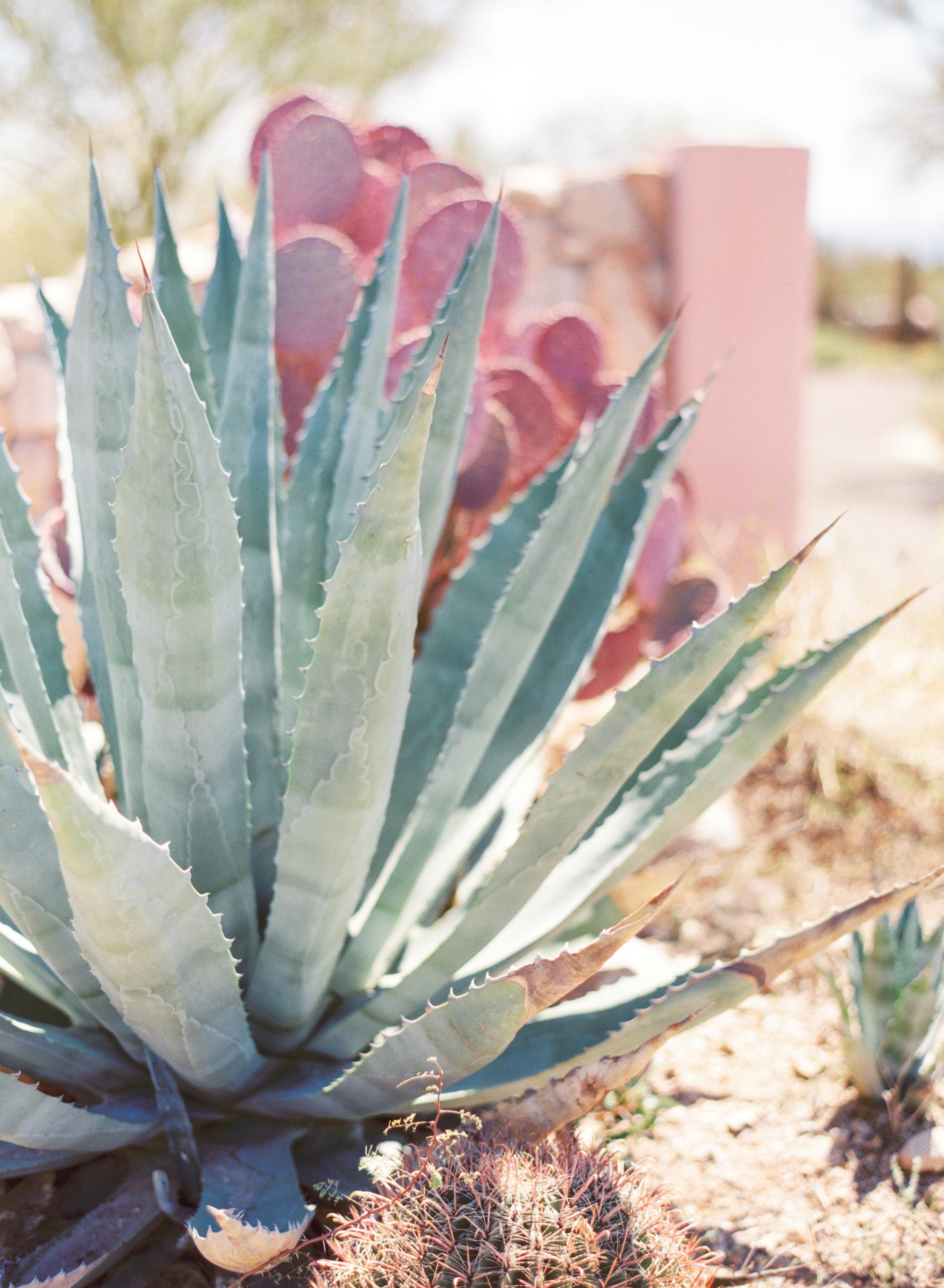 agave cactus in tucson arizona