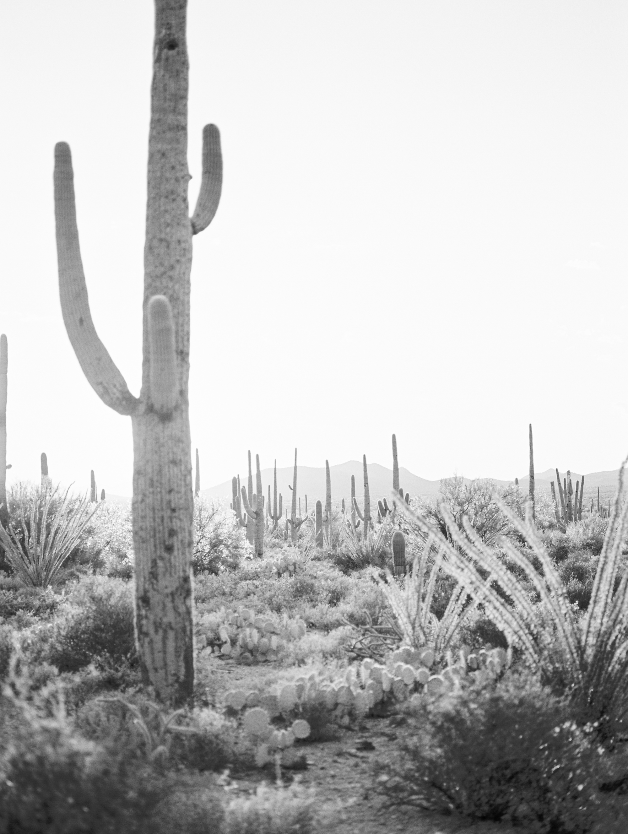Black and white landscape shot of the gorgeous Tucson desert with huge saguaros and prickly pear.