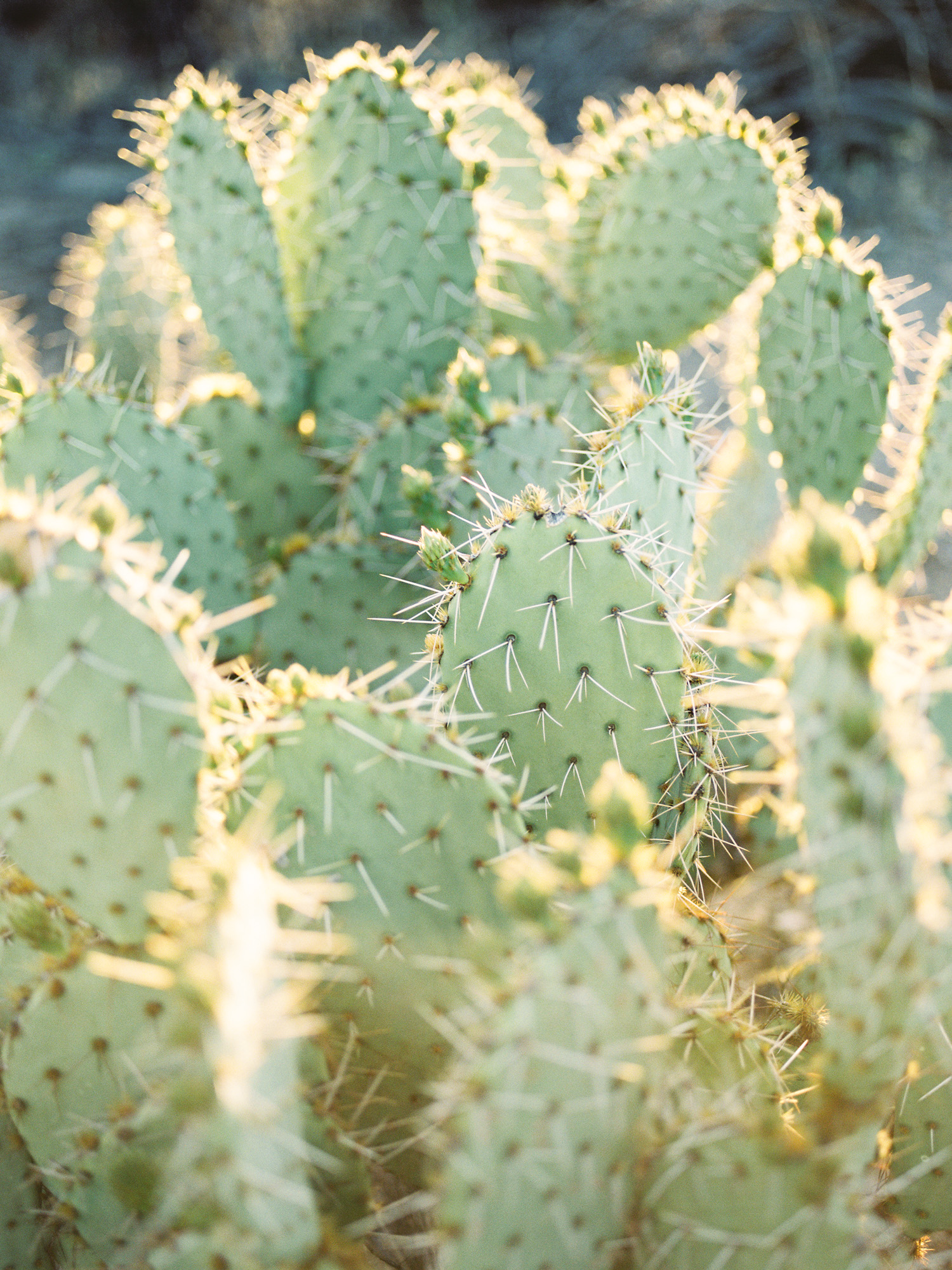 Gorgeous Tucson sunset lighting on prickly pear cactus