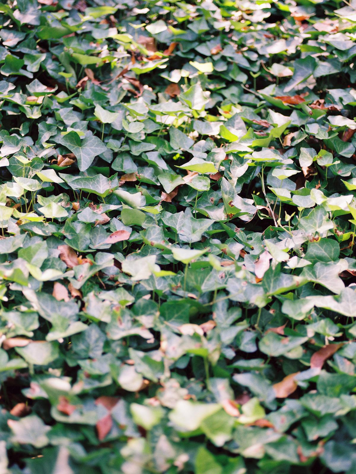 green-ivy.jpg