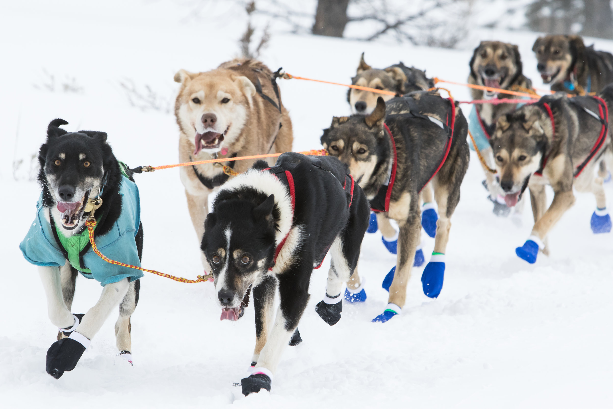 Sled dogs run through the snow at the beginning of the race.