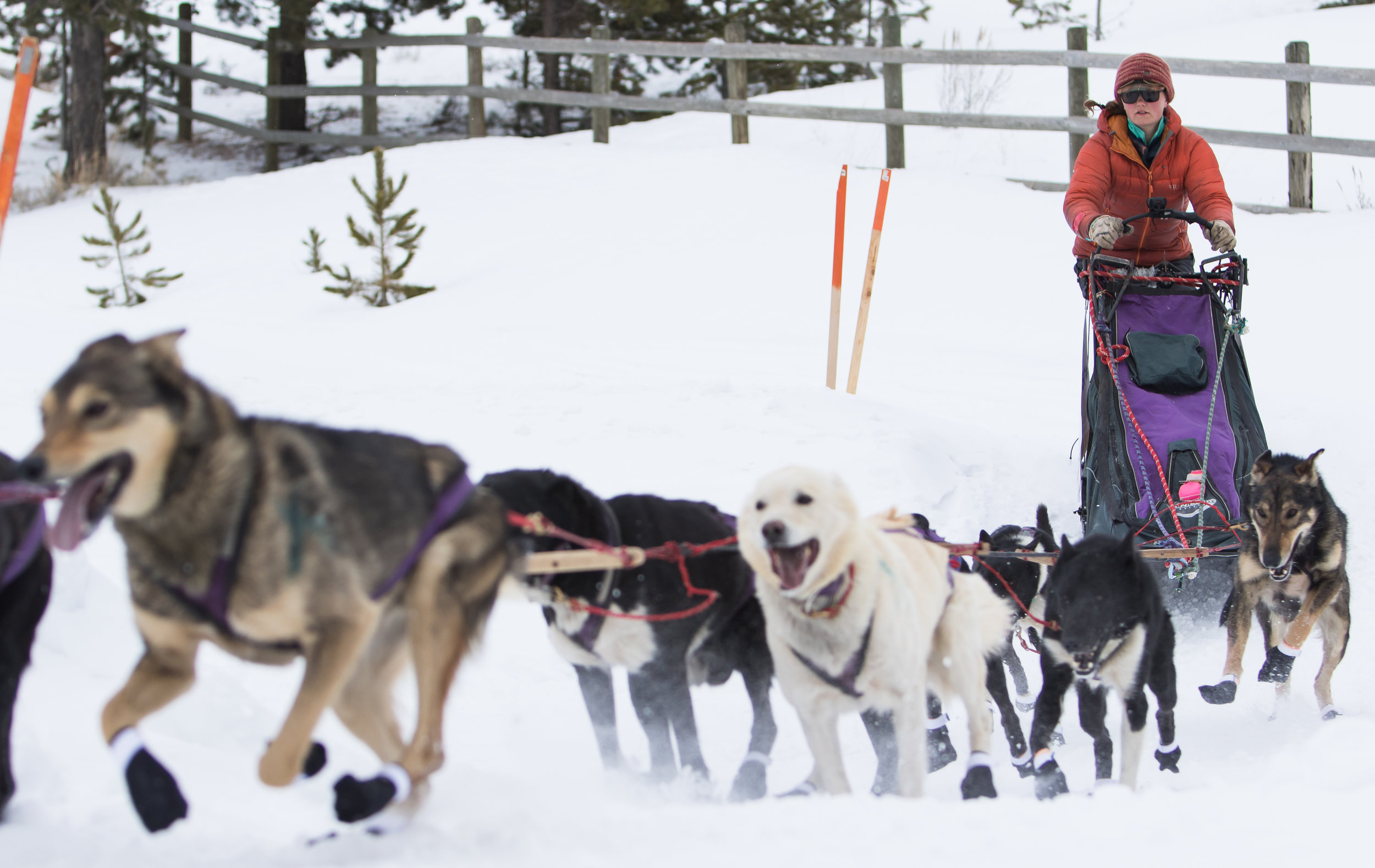 A musher prepares to cross the road with her sled dogs.
