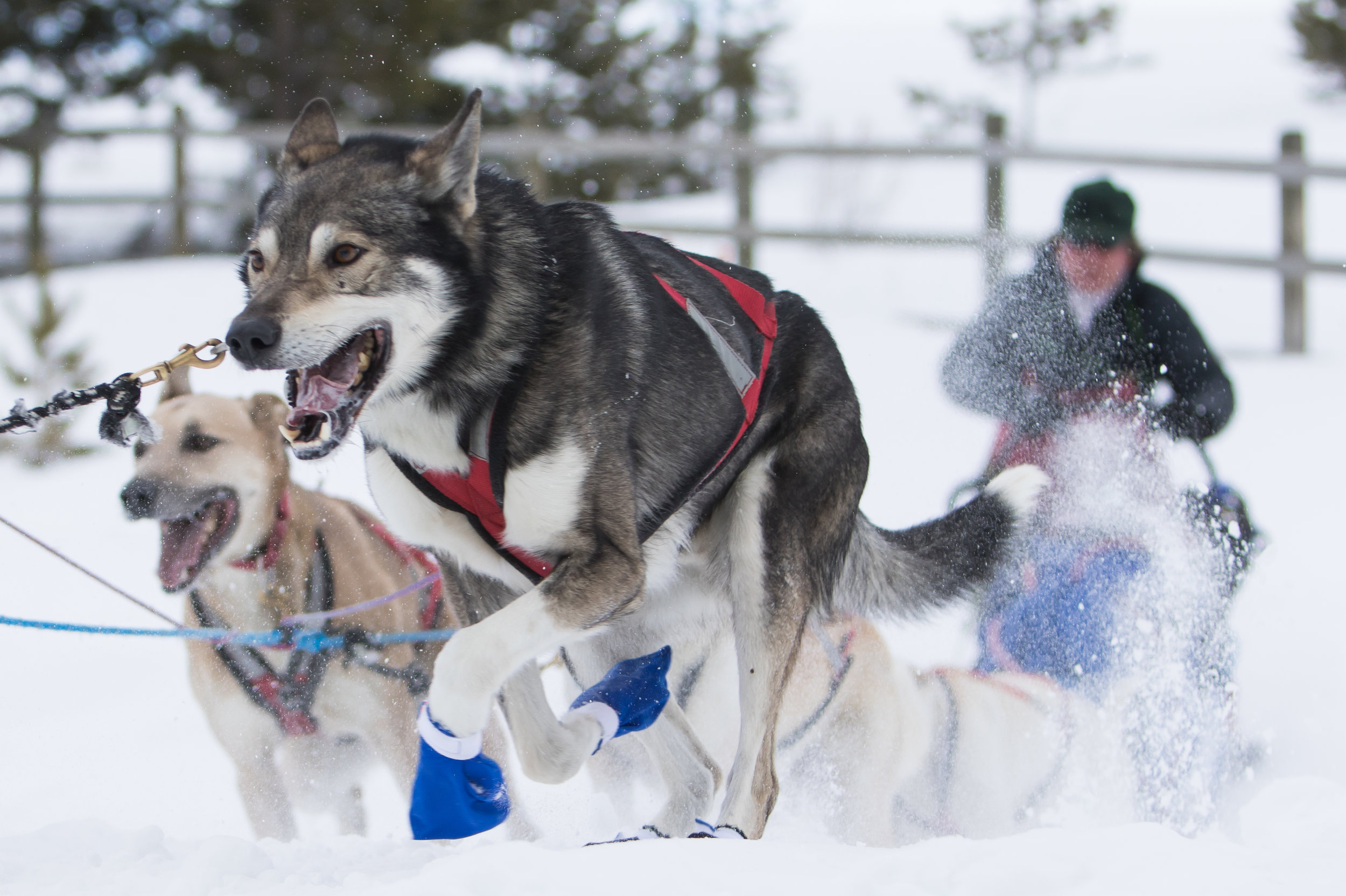 Musher Clayton Perry crosses a road with his sled dogs.