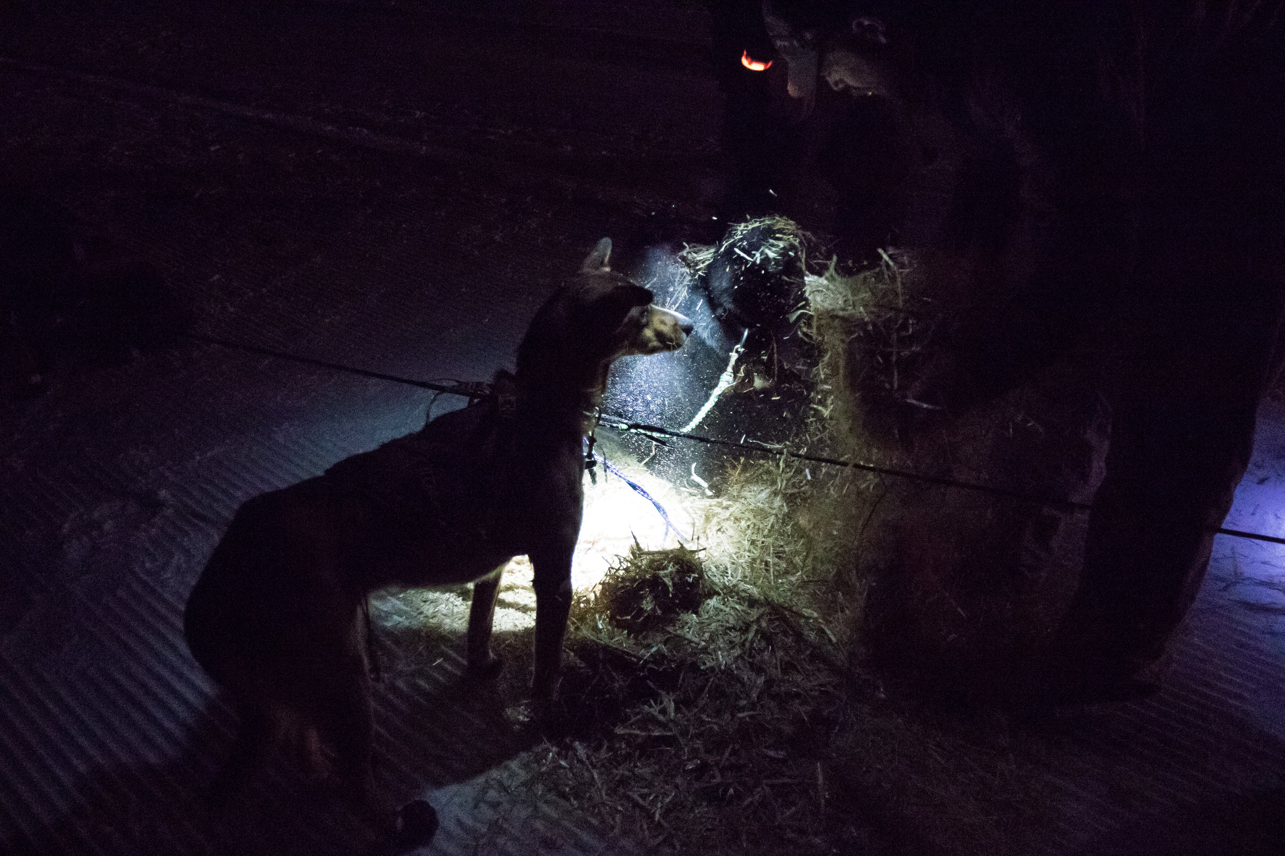 300-mile musher Damon Ramaker lays down a layer of hay bedding for his dogs late Saturday night at checkpoint one.