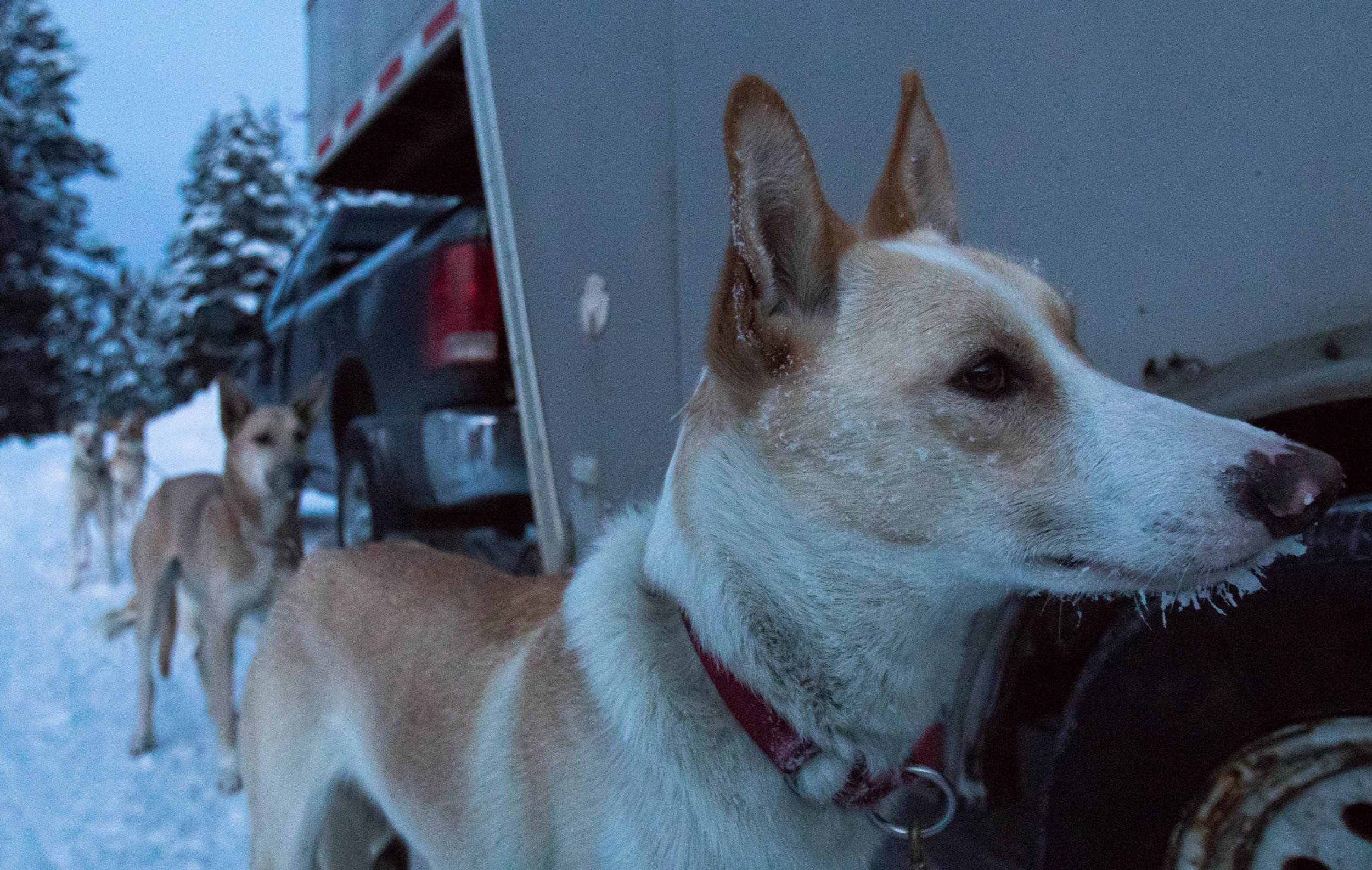 A frosty sled dog waits to be loaded into his team's truck after finishing the 100-mile race early Sunday morning.
