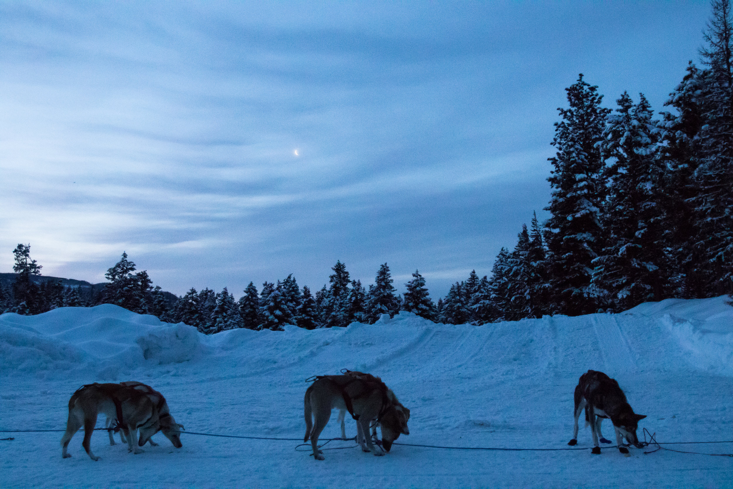 Sled dogs from a 100-mile team wait to be loaded into trucks after finishing the race early Sunday morning.