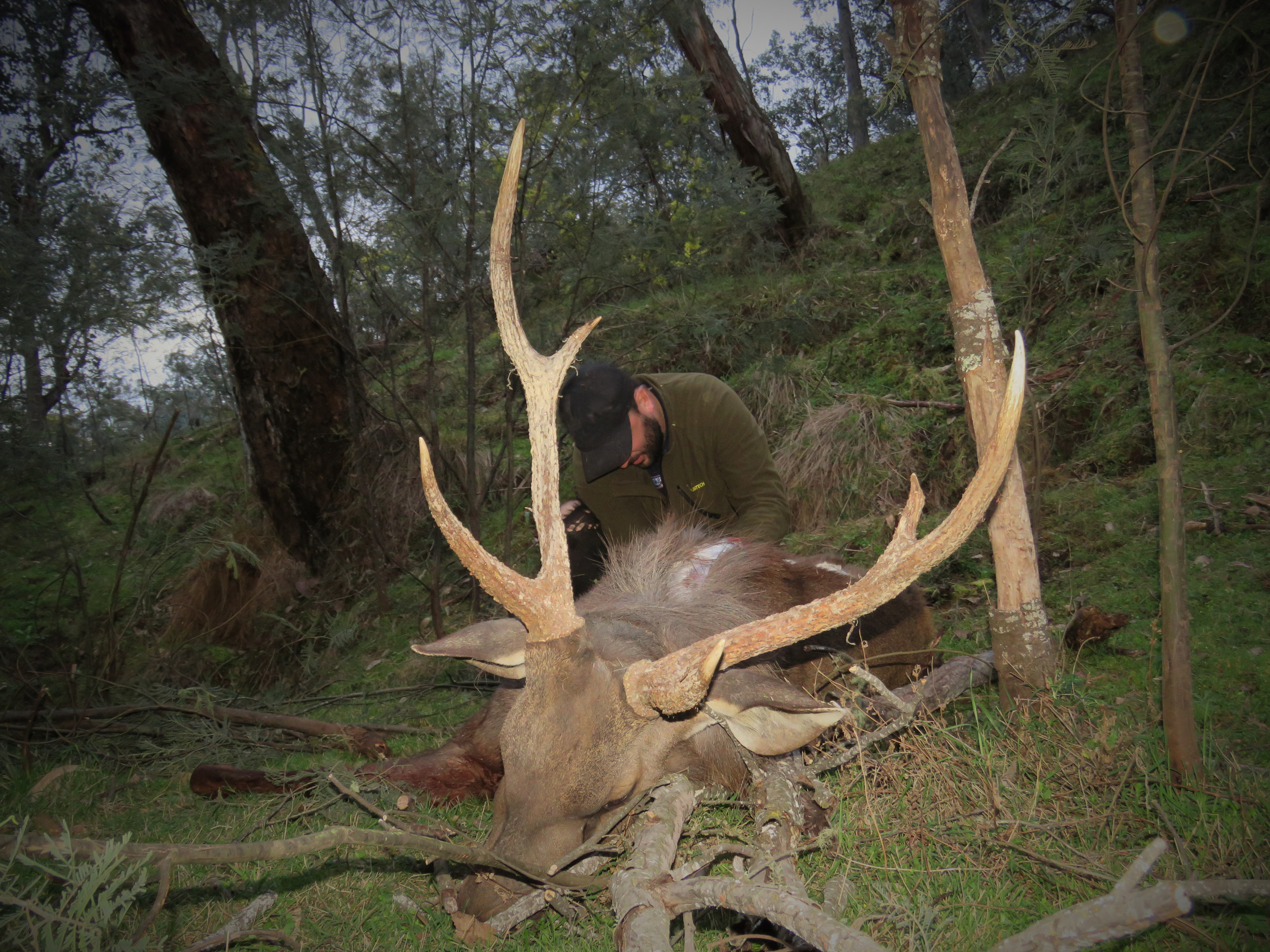 caping out the sambar stag