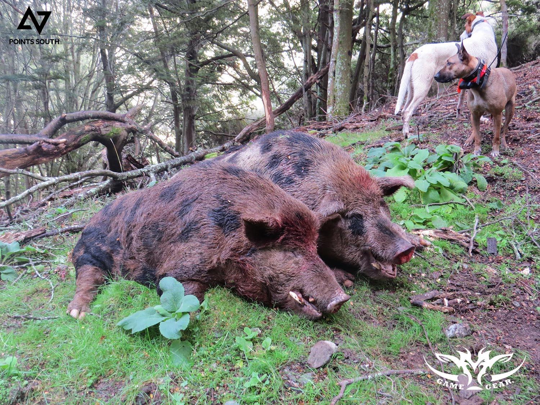 massive wild boars