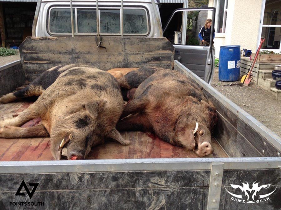boars on the back of the truck