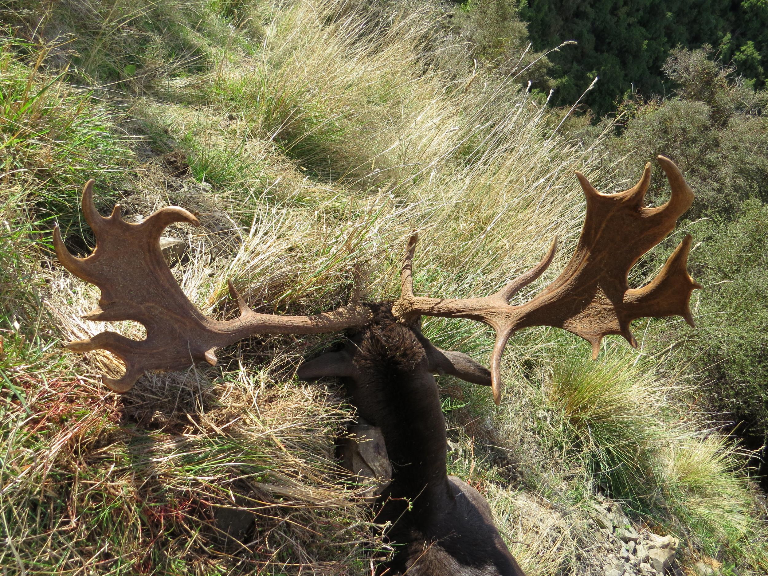 Richie's beaut' fallow buck - Photo by Ryan Carr