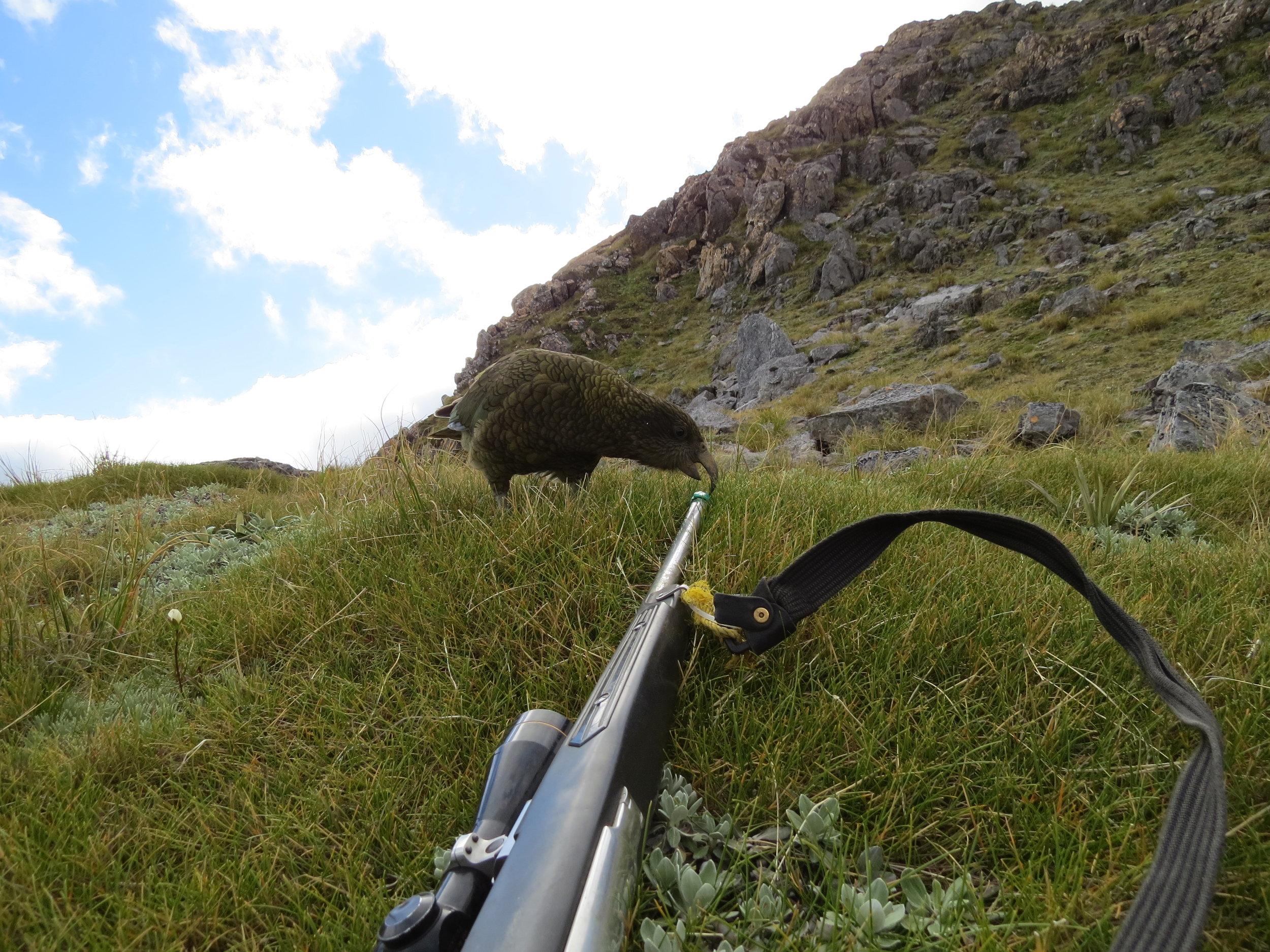 The cheeky kea, always entertaining.