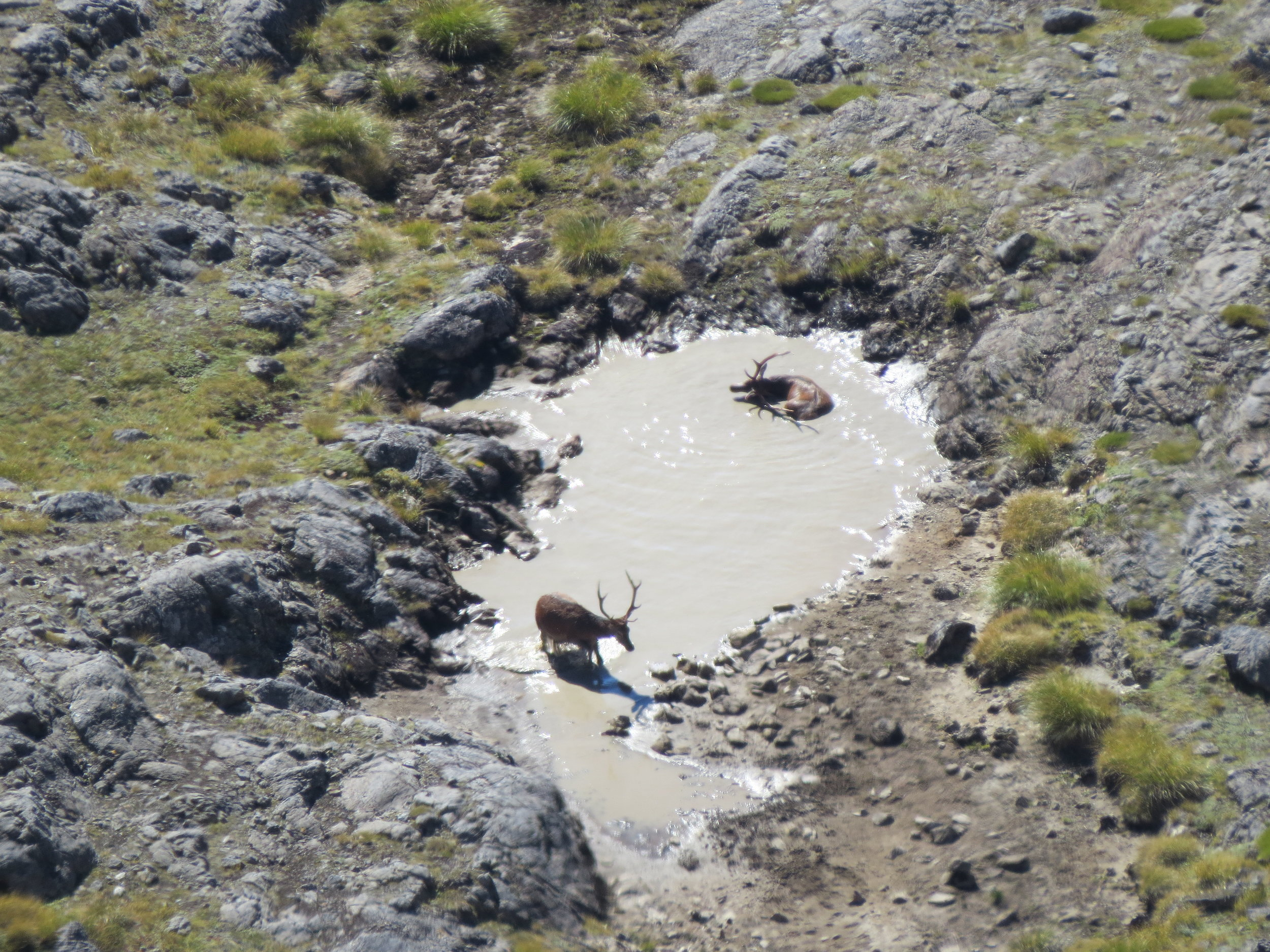 A couple of red stags bathing (check these guys out on the video)