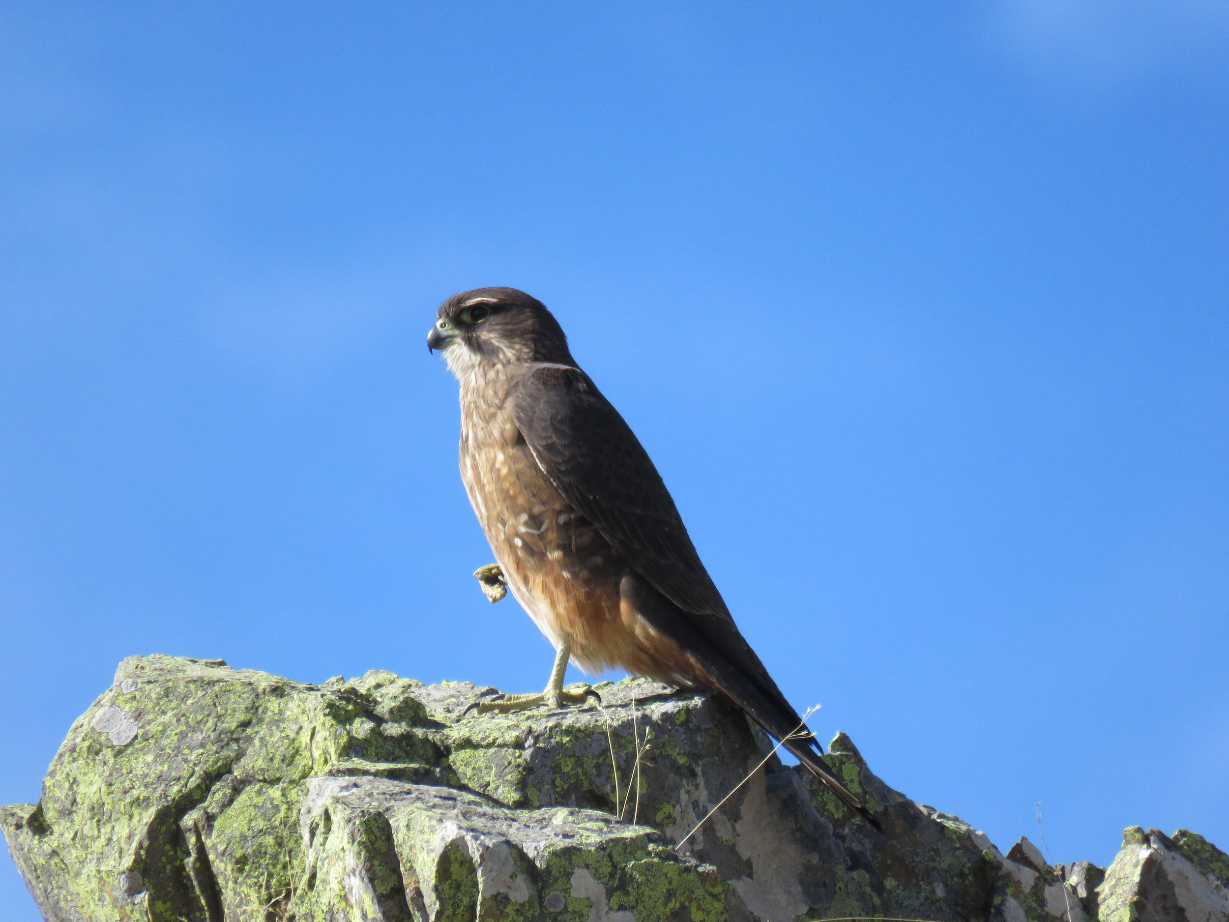A New Zealand Falcon happy to be photographed from the window of the Hilux.