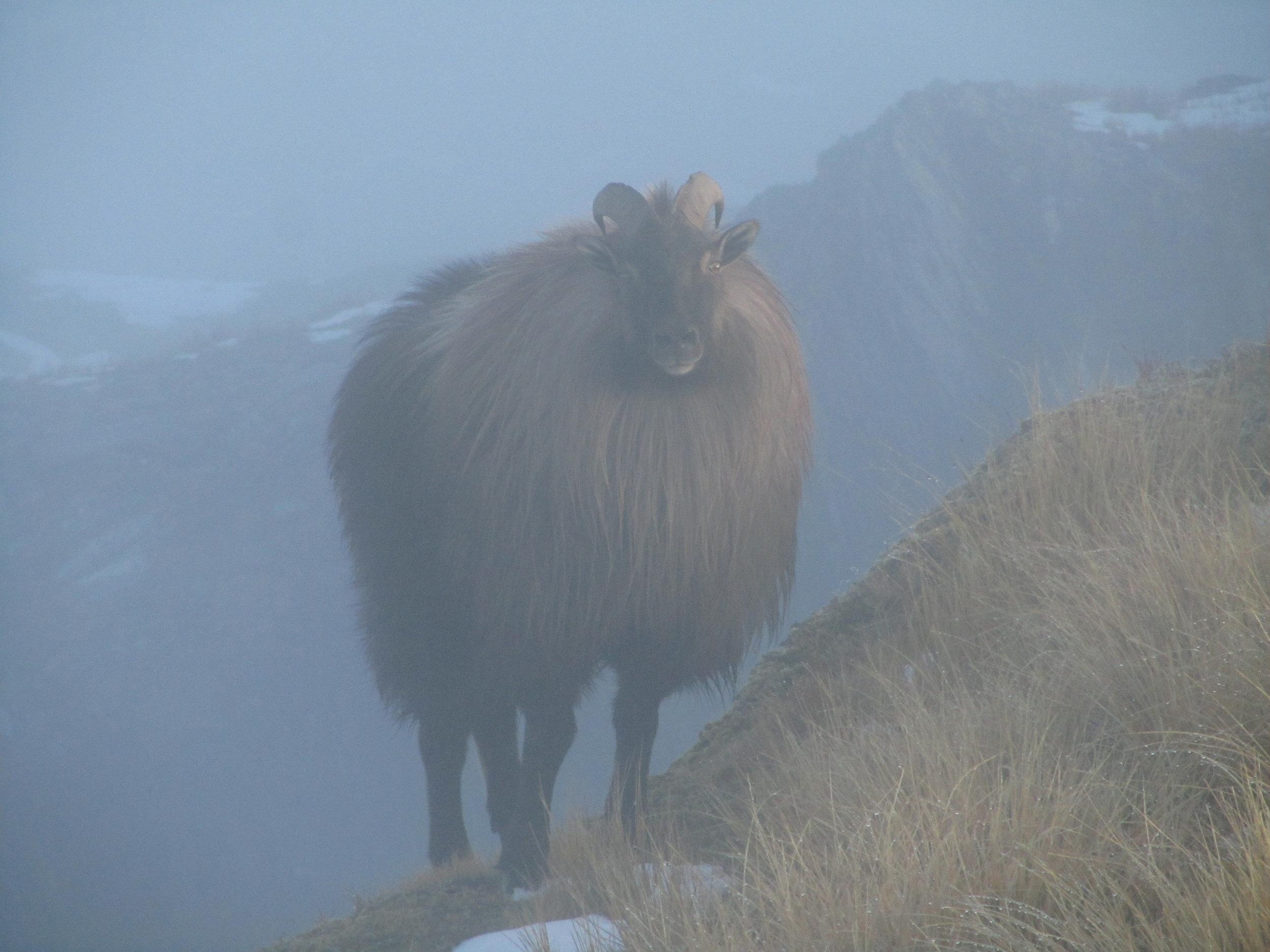bull tahr on the ridge