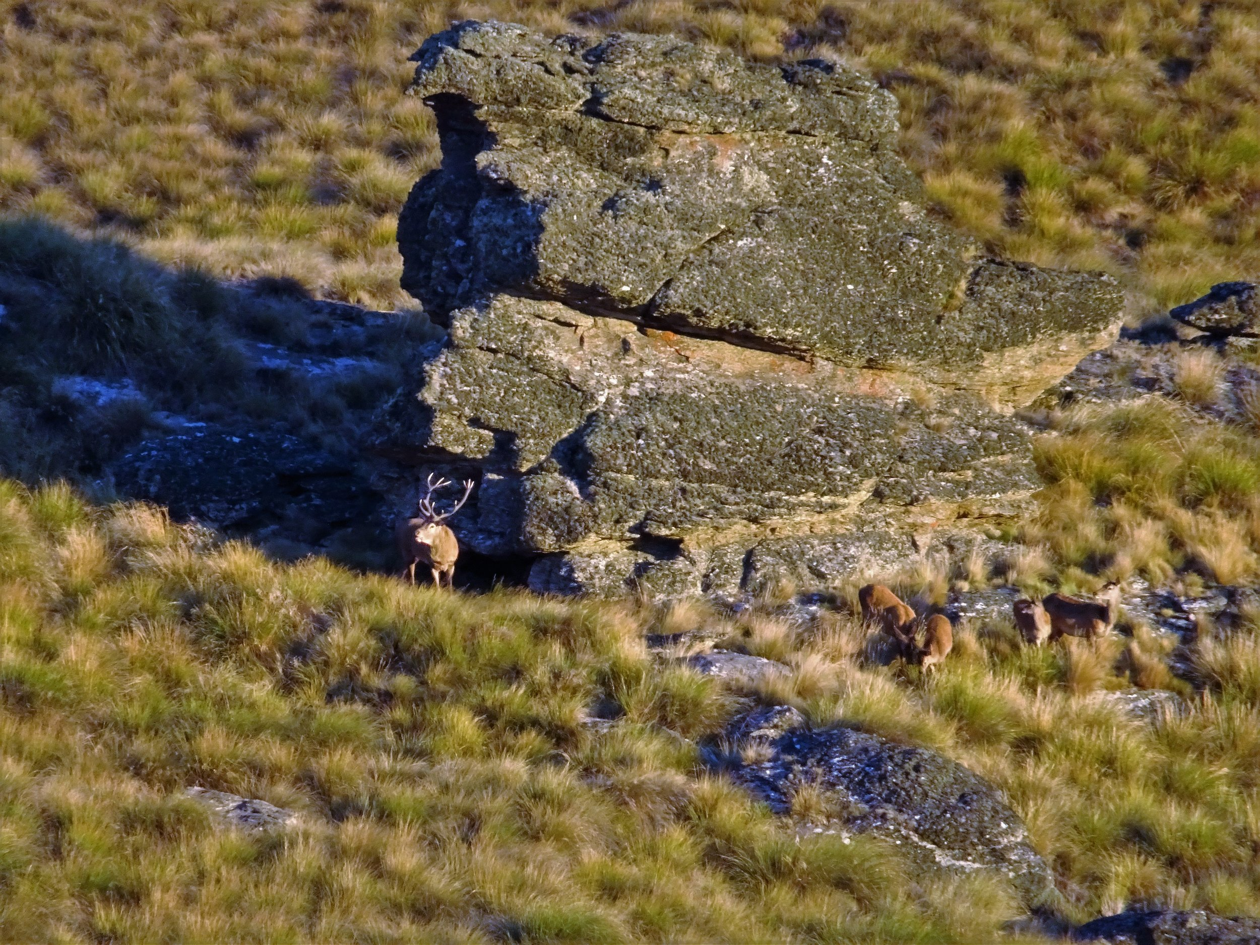 stag holding hinds in the tussock