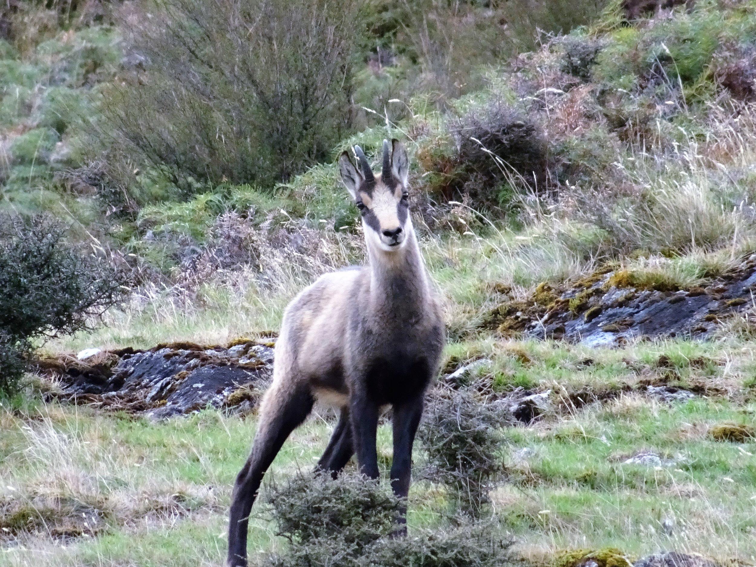 young chamois buck