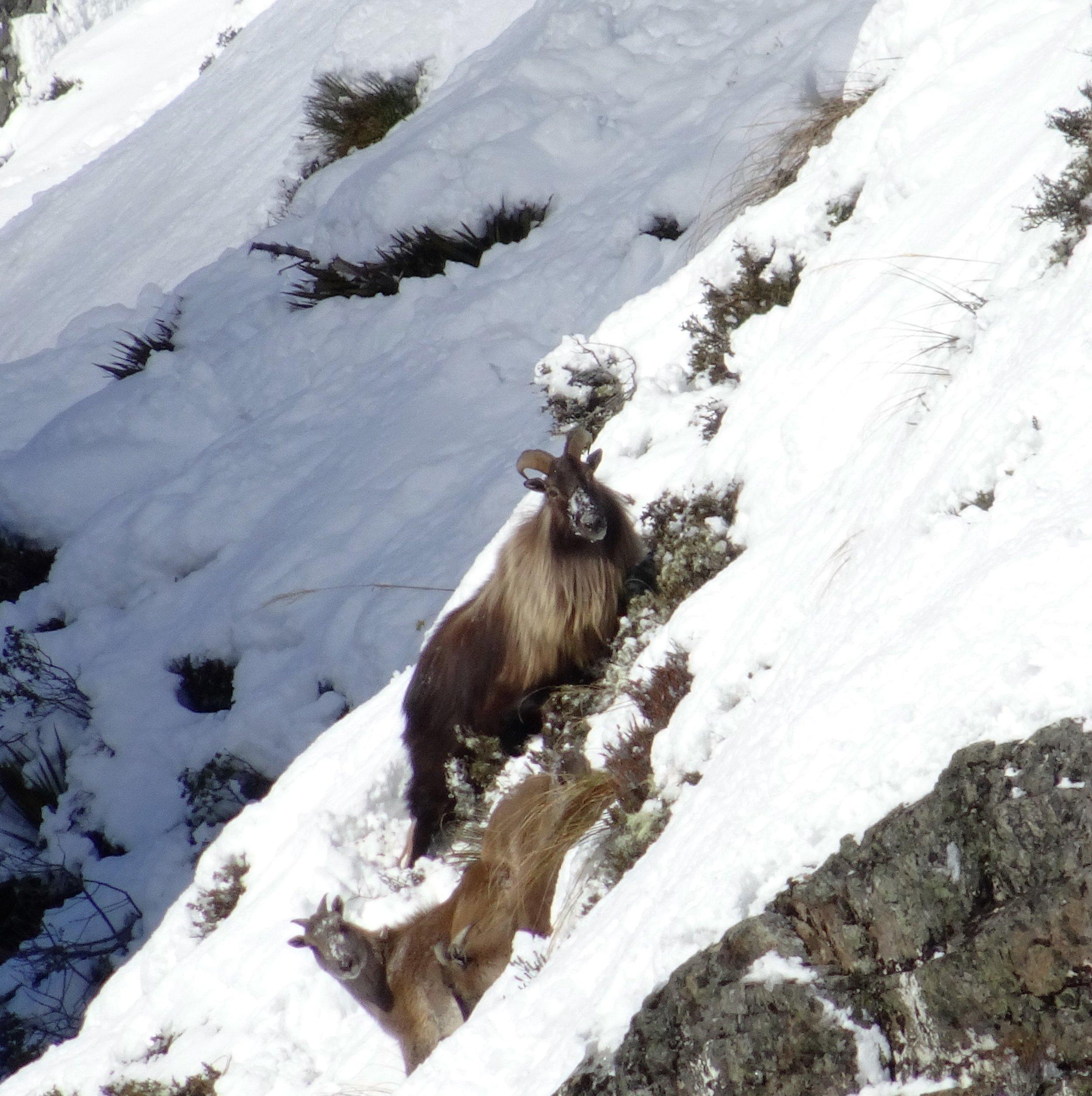 bull tahr in the snow