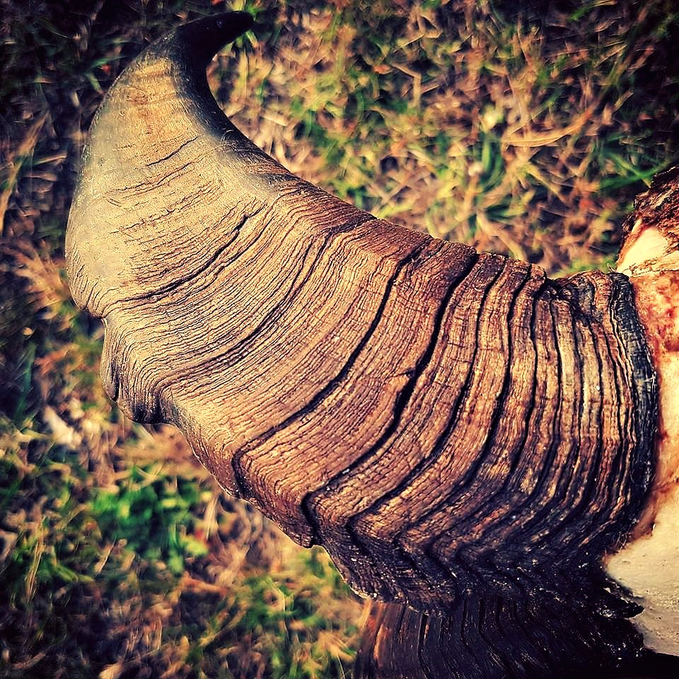 Stacked up age rings but not huge length, A real trophy.  Credit Joseph Peter @ HardYards Hunting