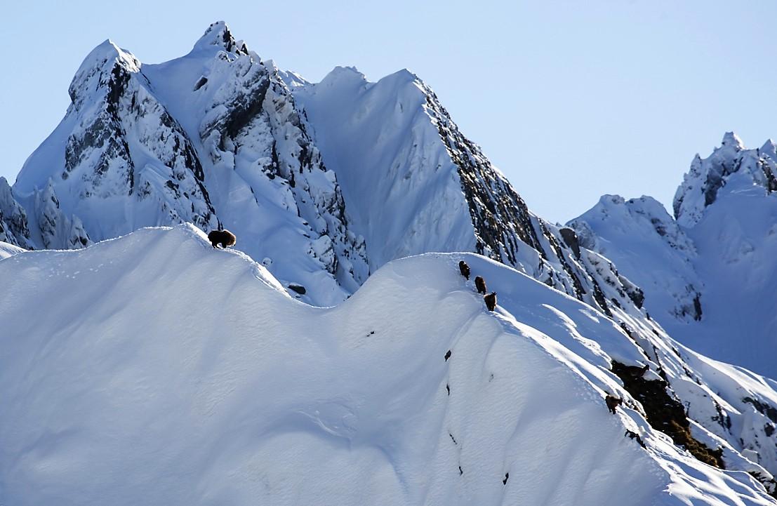 mature bull tahr standing on a snowy ridge