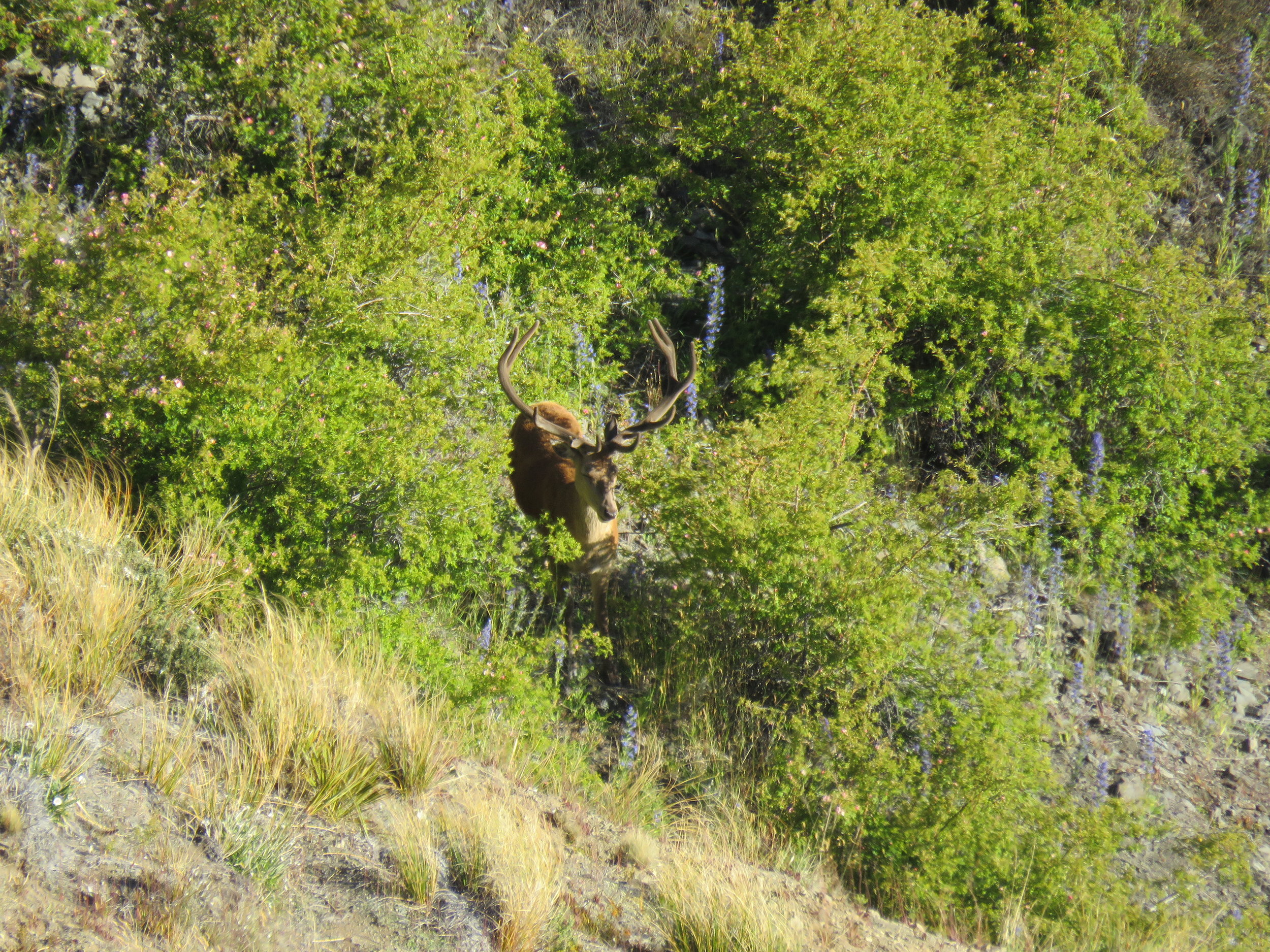 A very nice young stag about as far away from the ute as we could have ever got on day one!