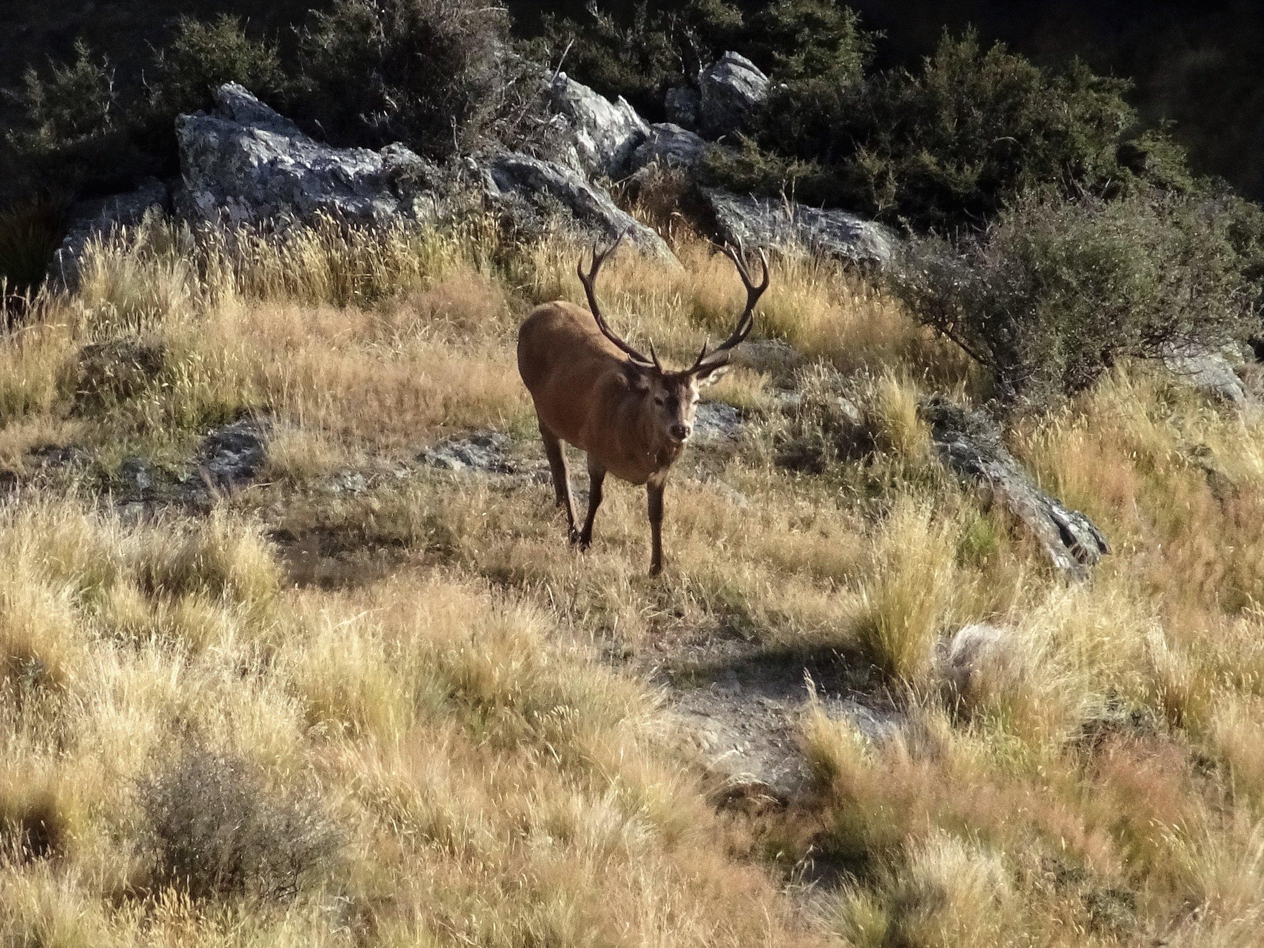 big otago stag on the hoof