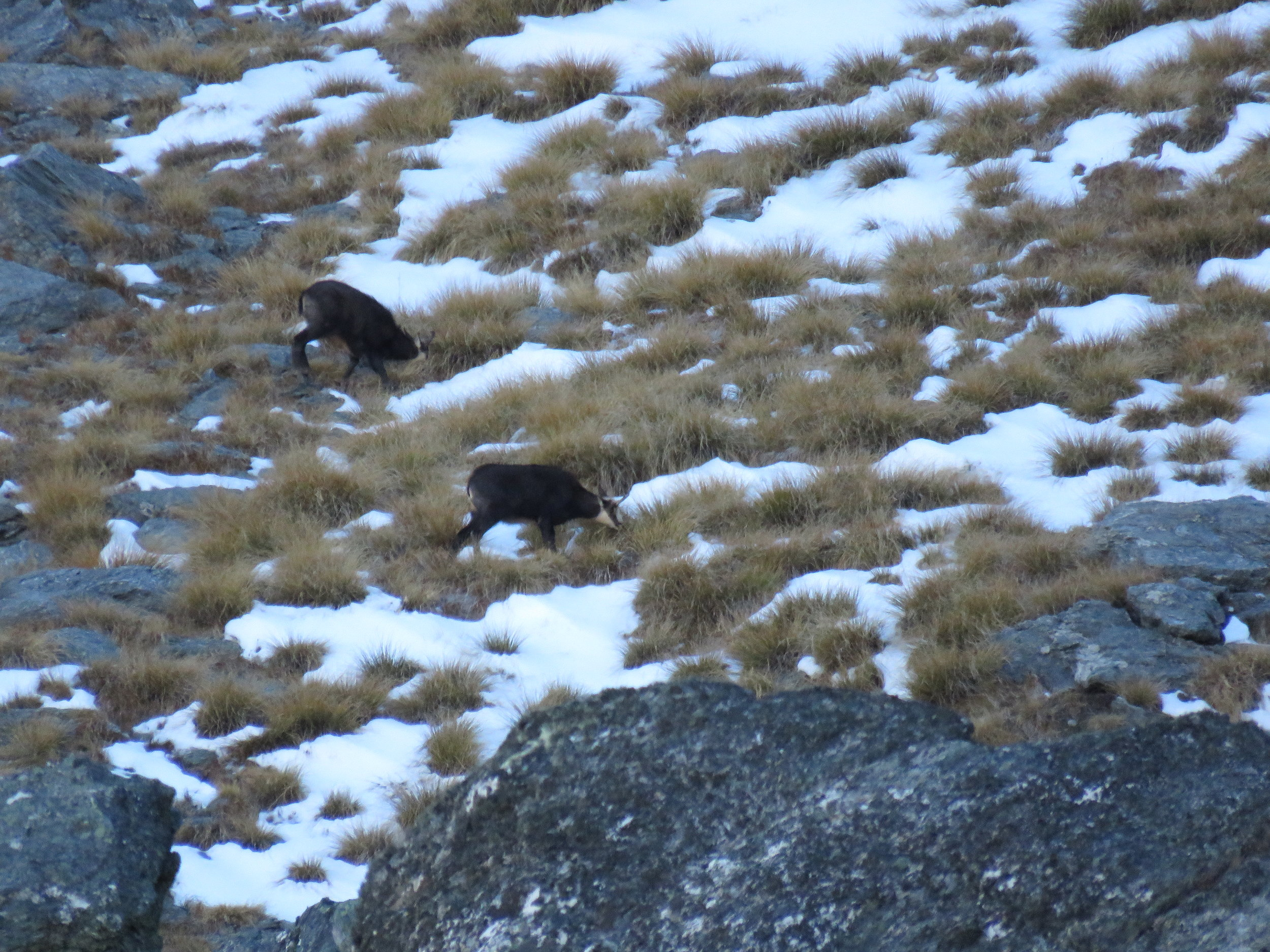 chamois in the snow and tussock