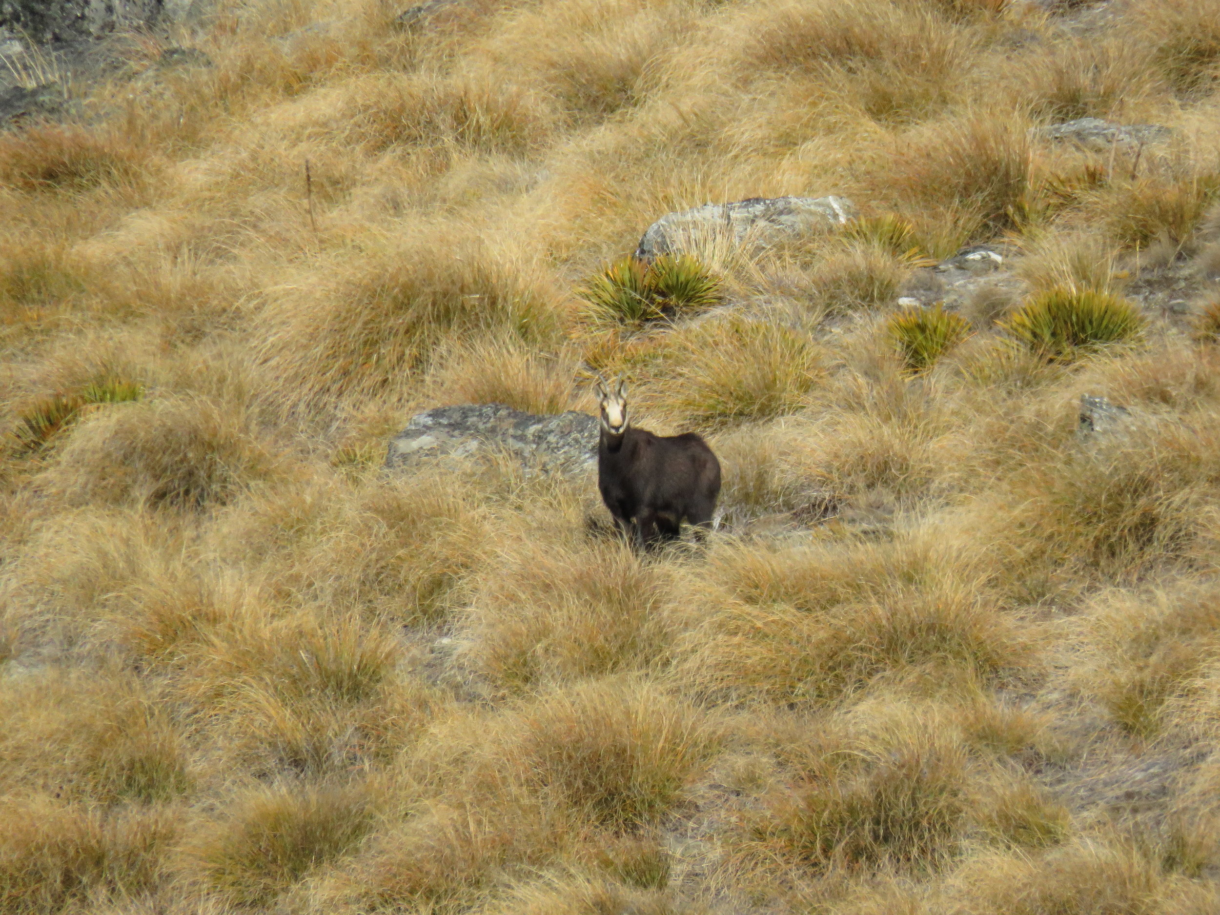 chamois in the tussock
