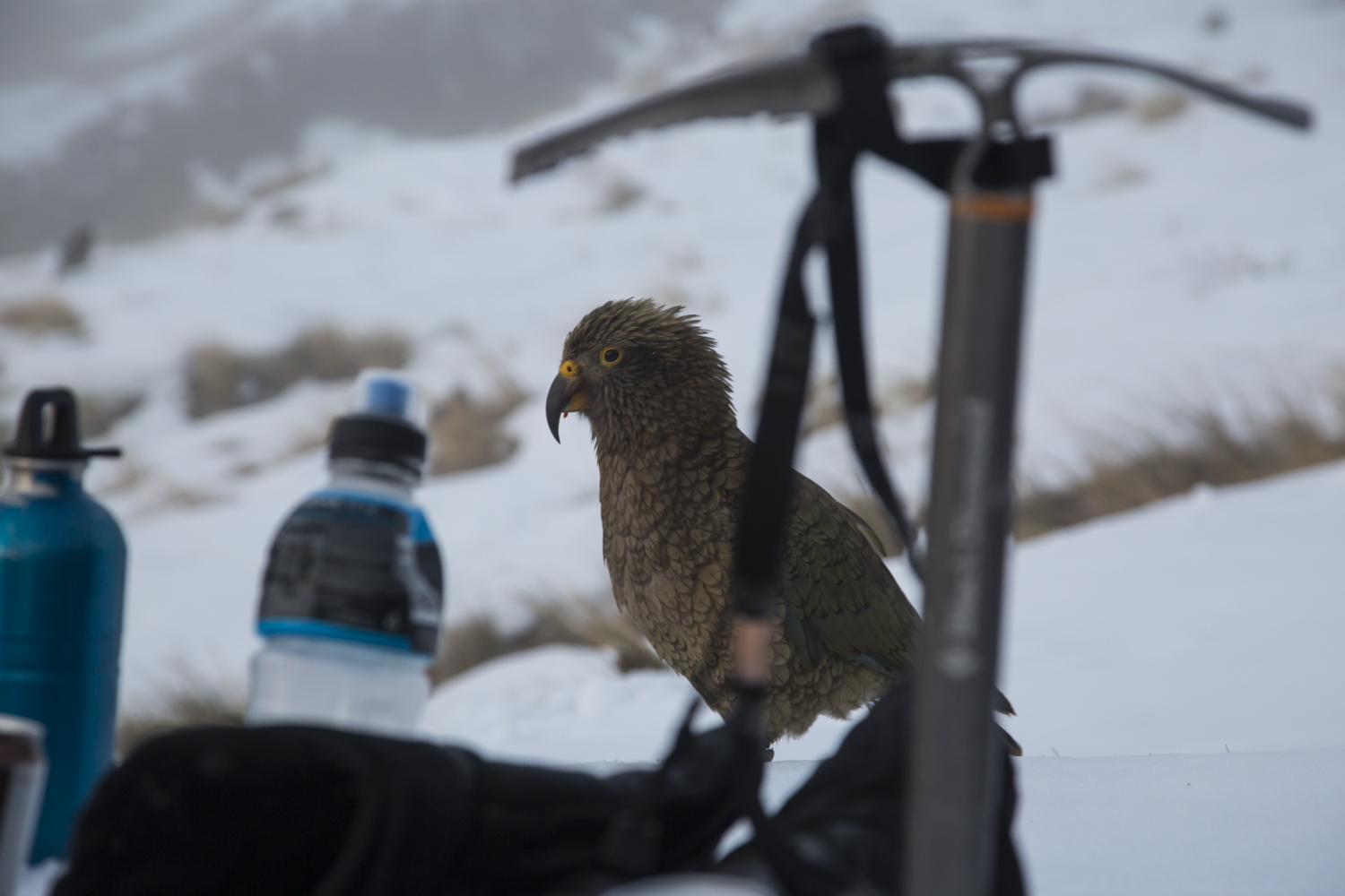 kea trying to steal our stuff