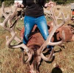 big stag shot by waro commercial hunters for meat and velvet