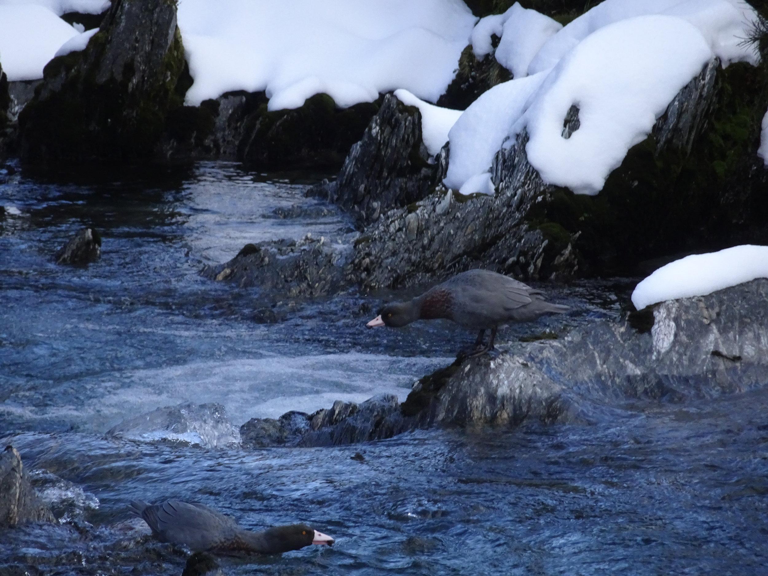whio or blue ducks in the westland alpine