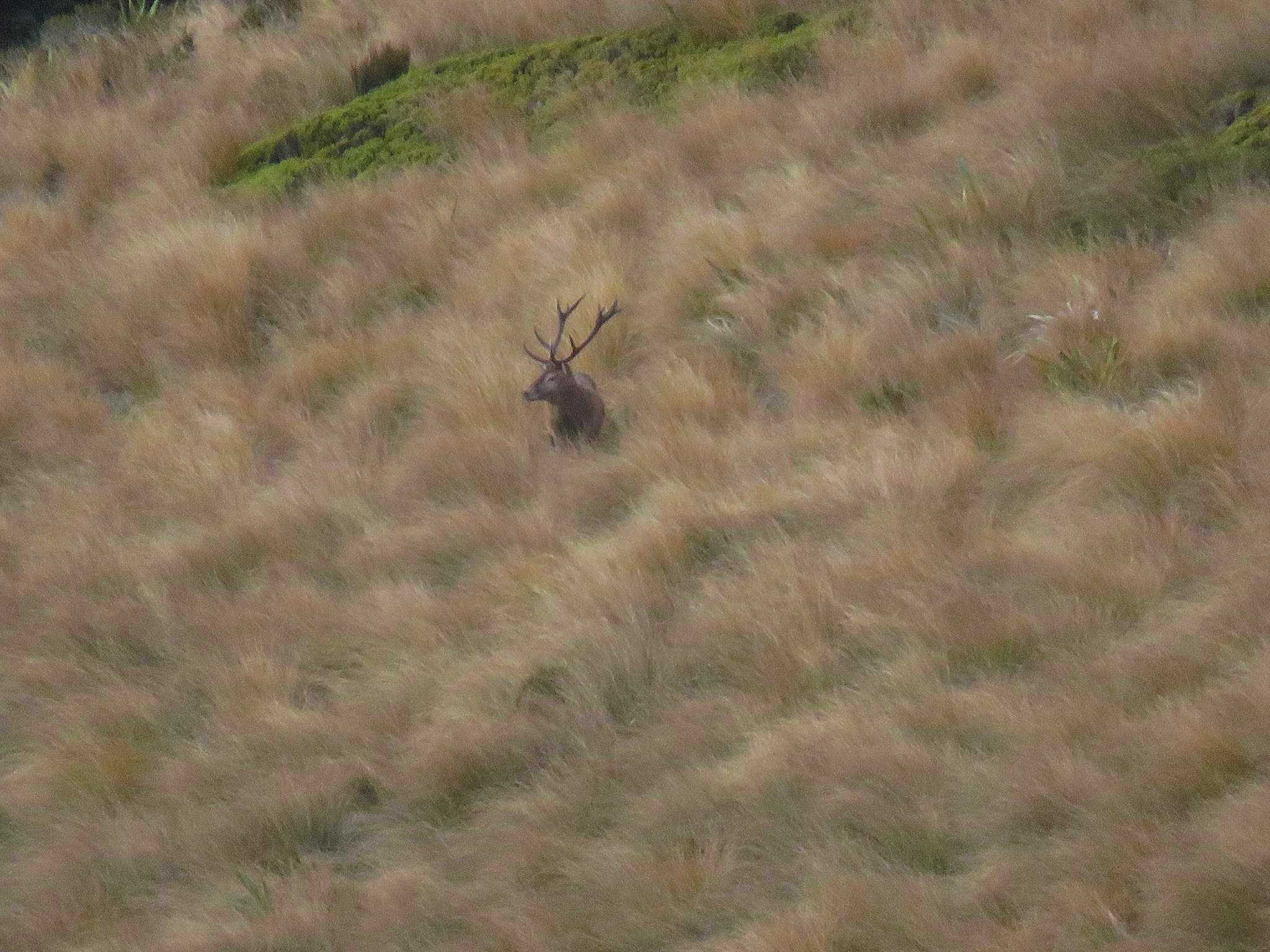stag in the tussocks