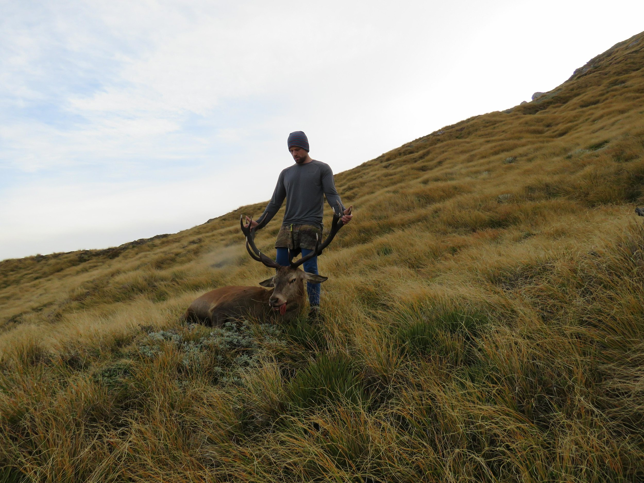 stag in the new zealand tussocks