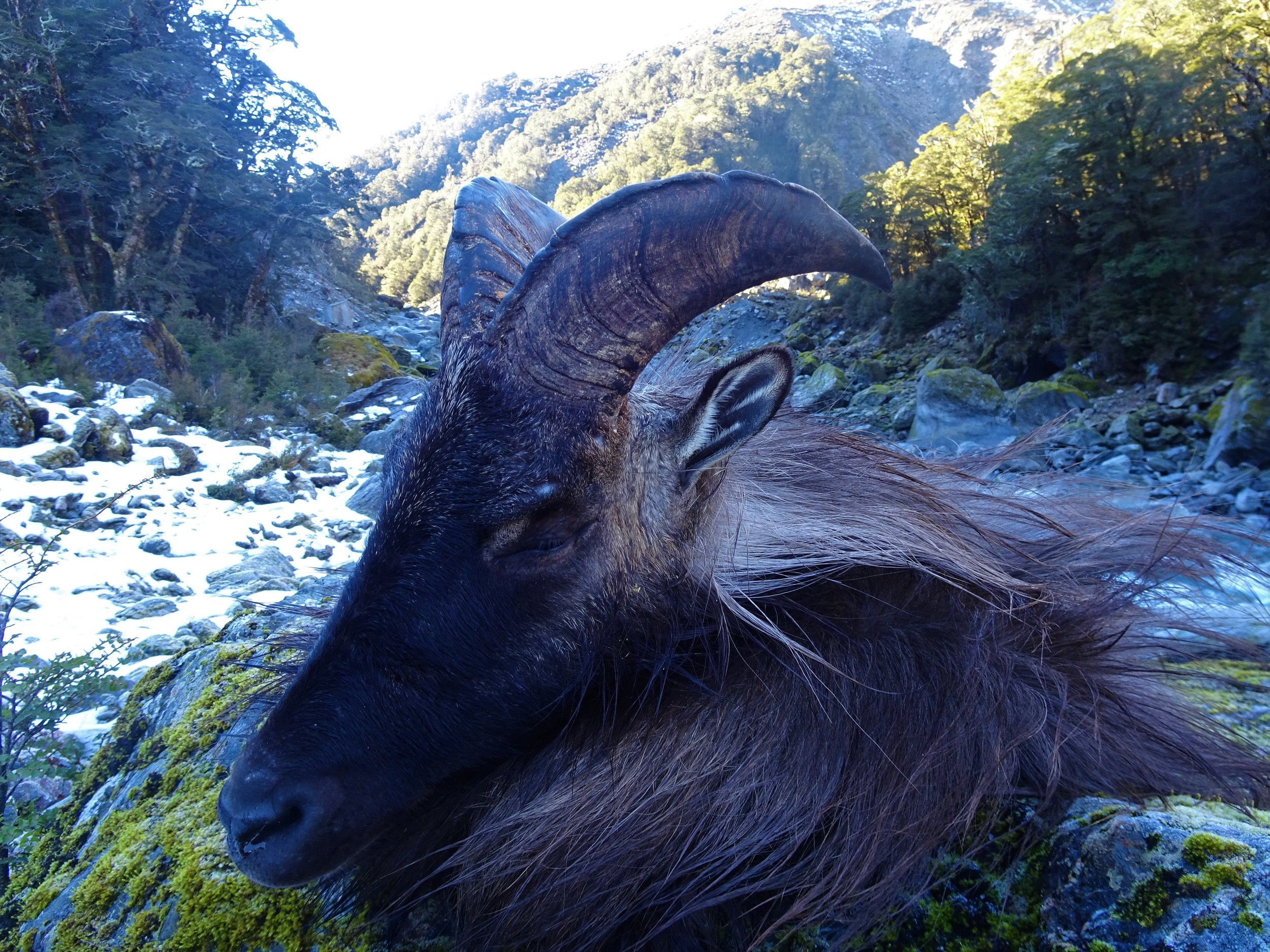 bull tahr Caped out and ready to go. @Luke Potts