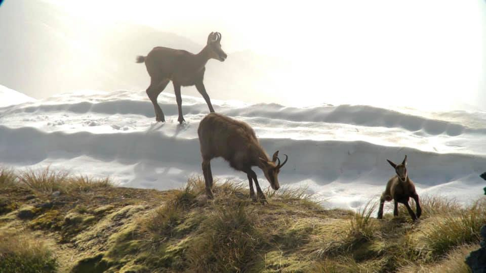 family group of chamois