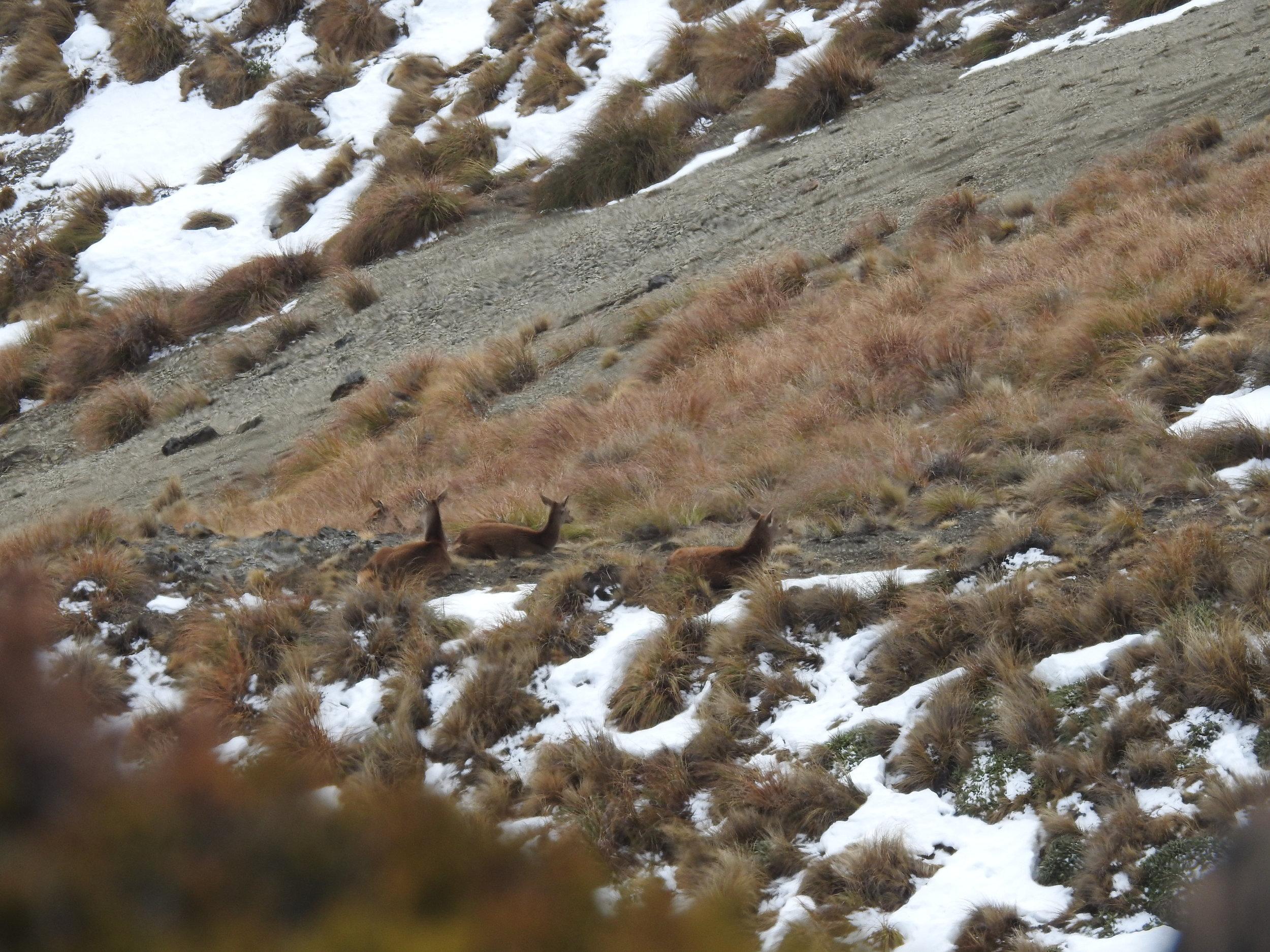 deer bedded down