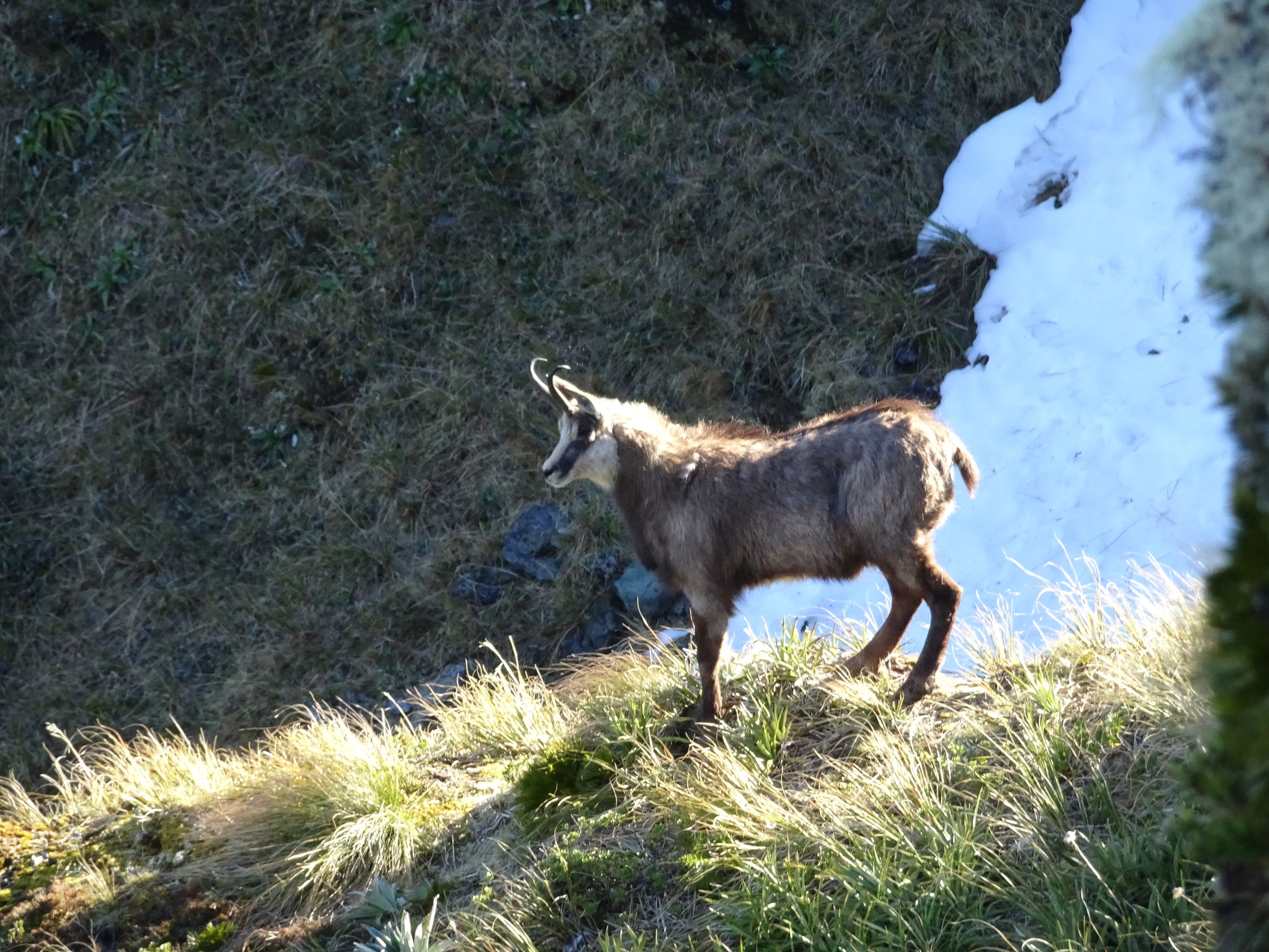 The photo that started the topic. This is an old female, and a good example of how easy it is to get it wrong. Upon first look with the end of season coat the dorsal hair is enhanced and she has a good hook to her horn. The give away is the lack of a visible pizzle against the snow background. She would most likely be heavily pregnant at this time of year and hence looks in good condition. image @ PointsSouth